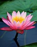 LotusFlowerofIndia