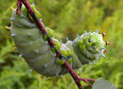 Cecropia Buckthorn