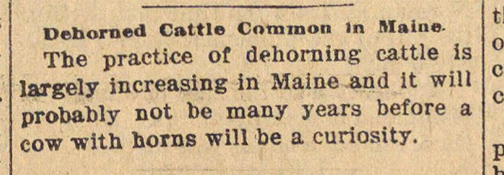 Dehorned Cattle Common In Maine image