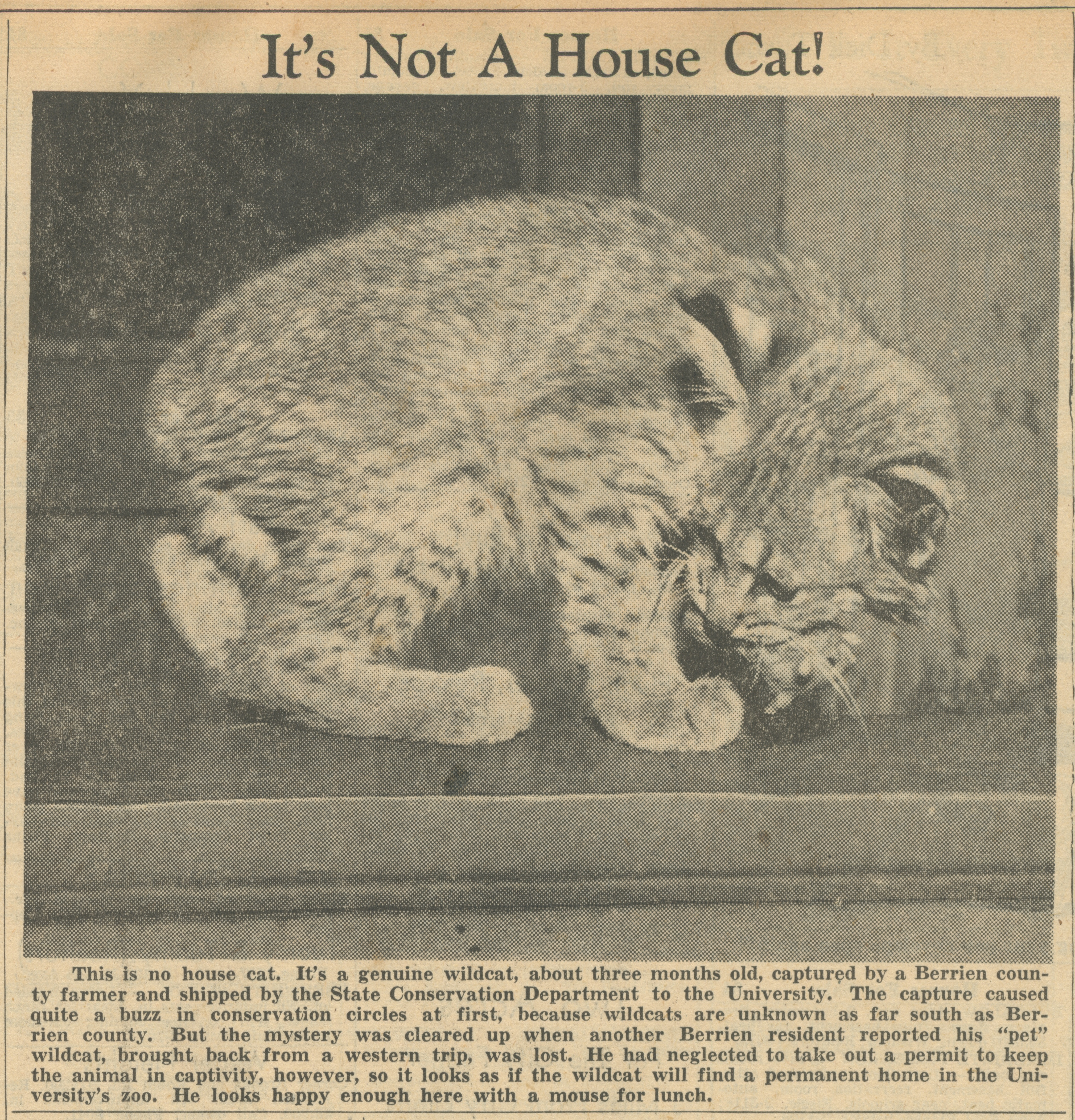 It's Not A House Cat! image