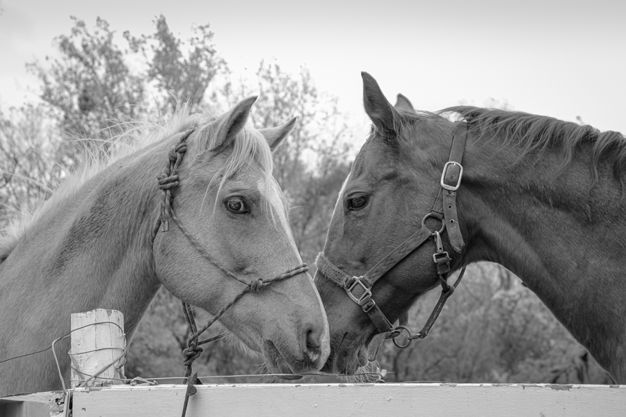 Two horses, one light tan and one dark brown, stand facing each other at a white wooden fence.
