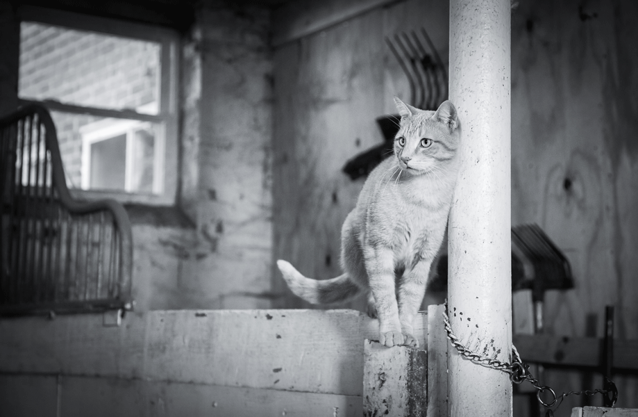An orange tabby cat balances on a short wall in the stables.