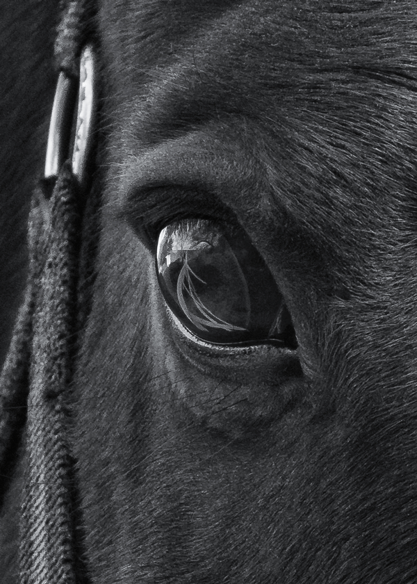 image: a close-up photograph of a horse, with the landscape reflecting in its eye.
