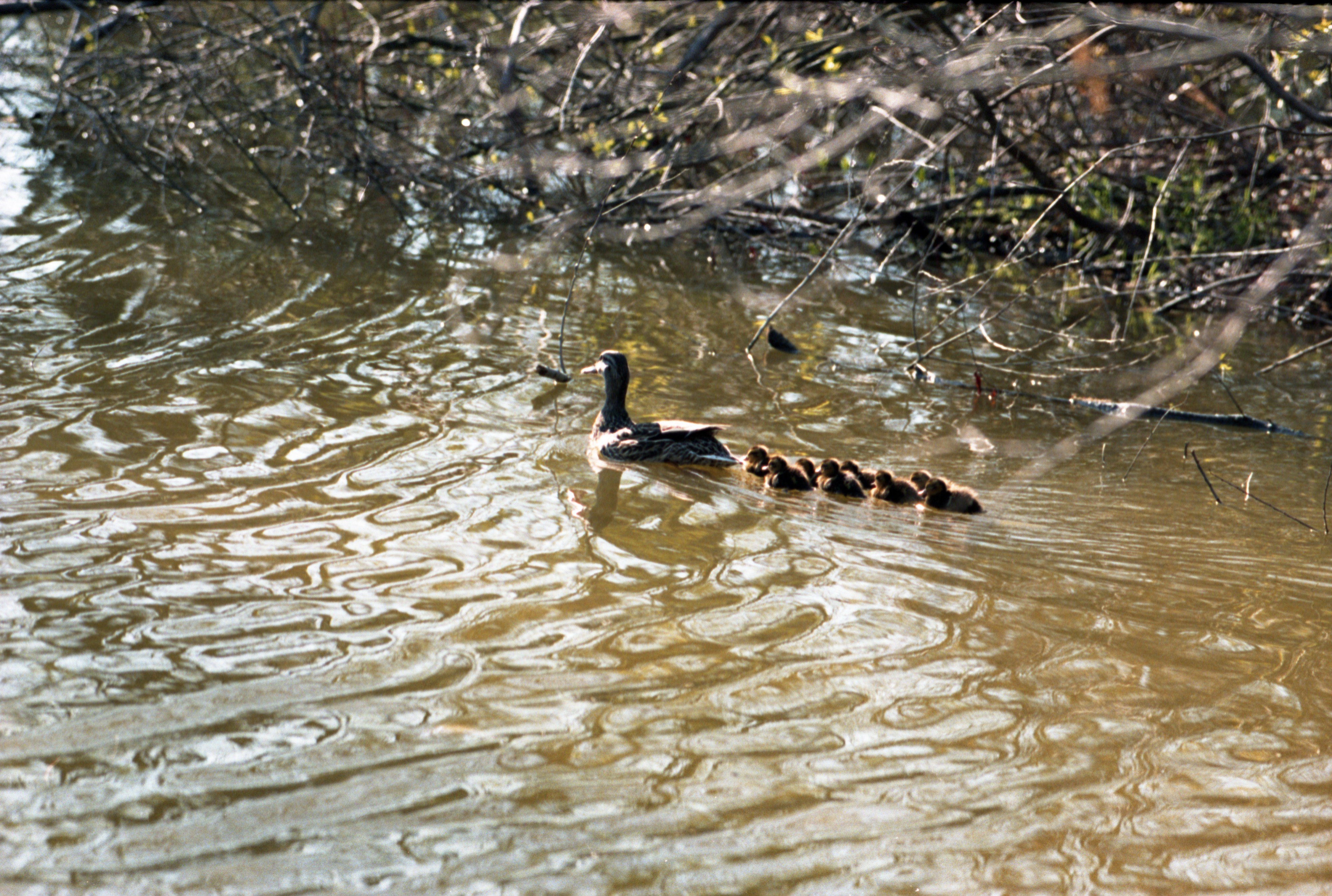 Duck Family In The Water, May 1997 image
