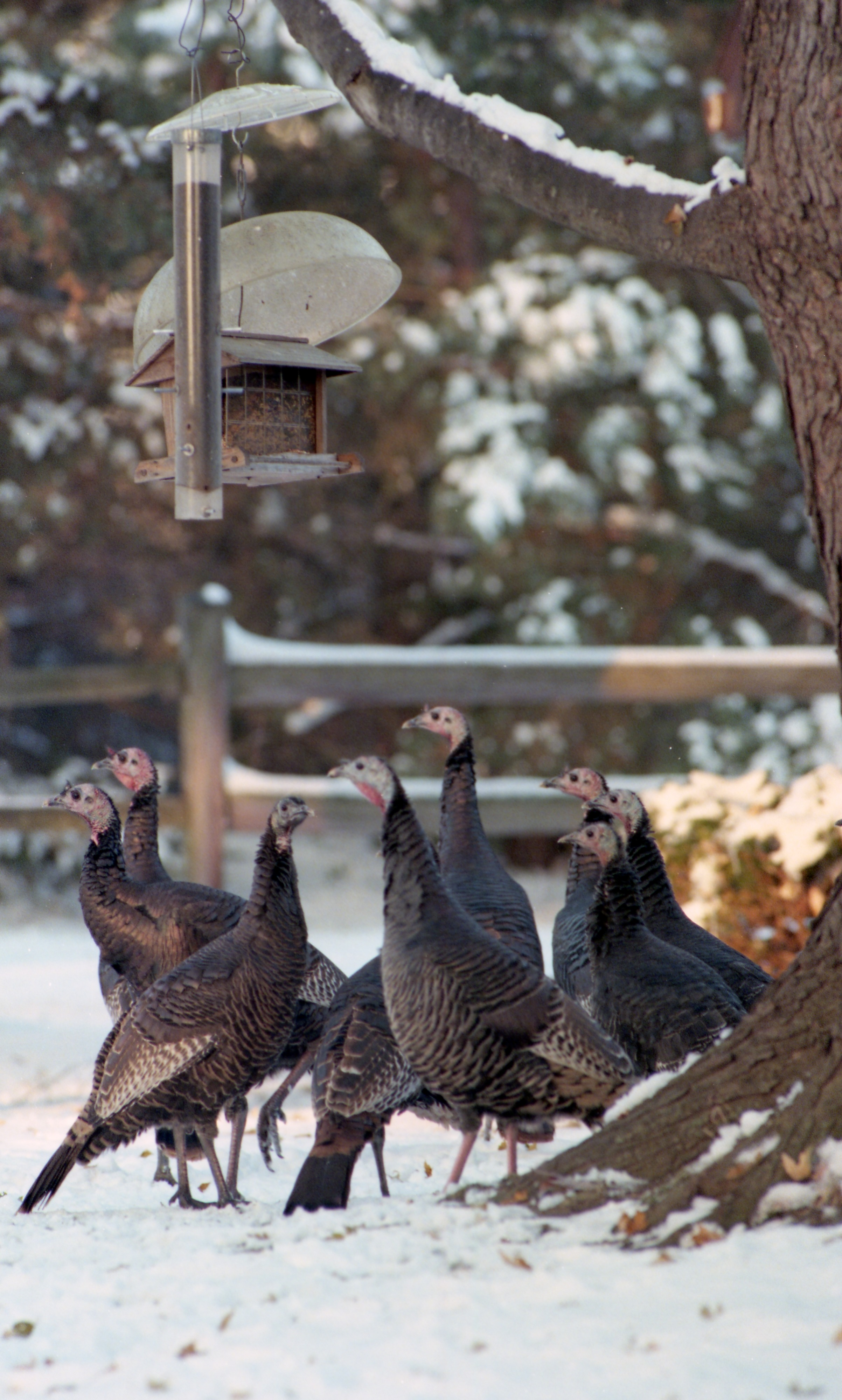 Wild Turkeys Outside The Howell Home Of Sue & Jay Krokosky, November 1997 image
