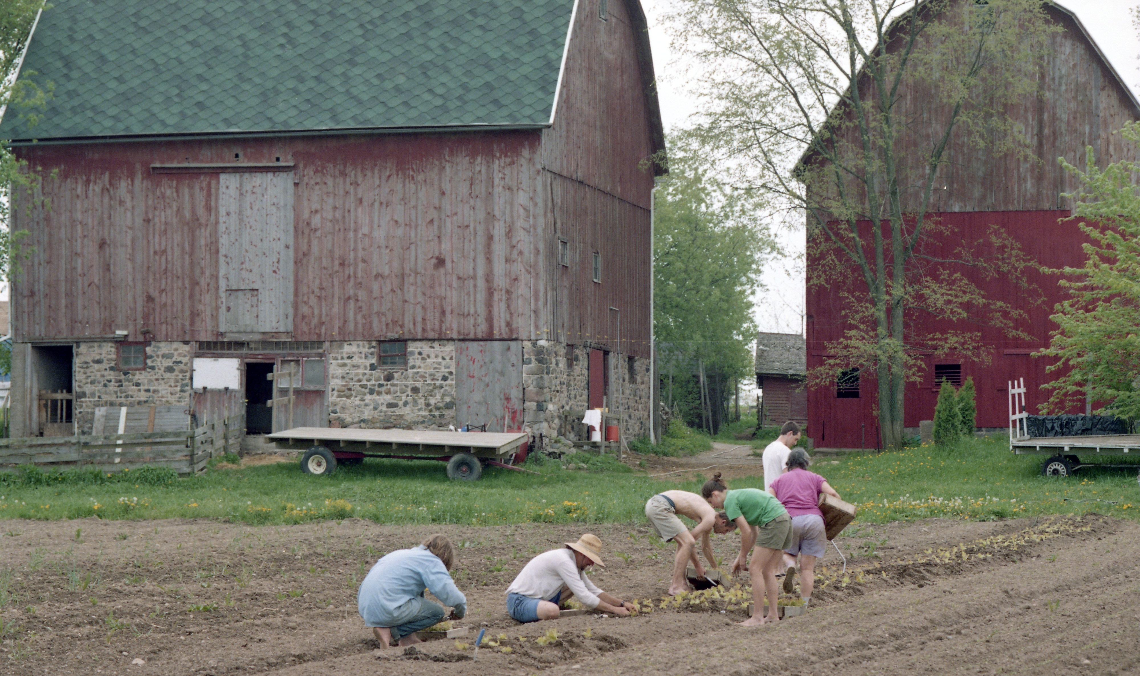 Lettuce Is Planted At Community Farm, May 1998 image