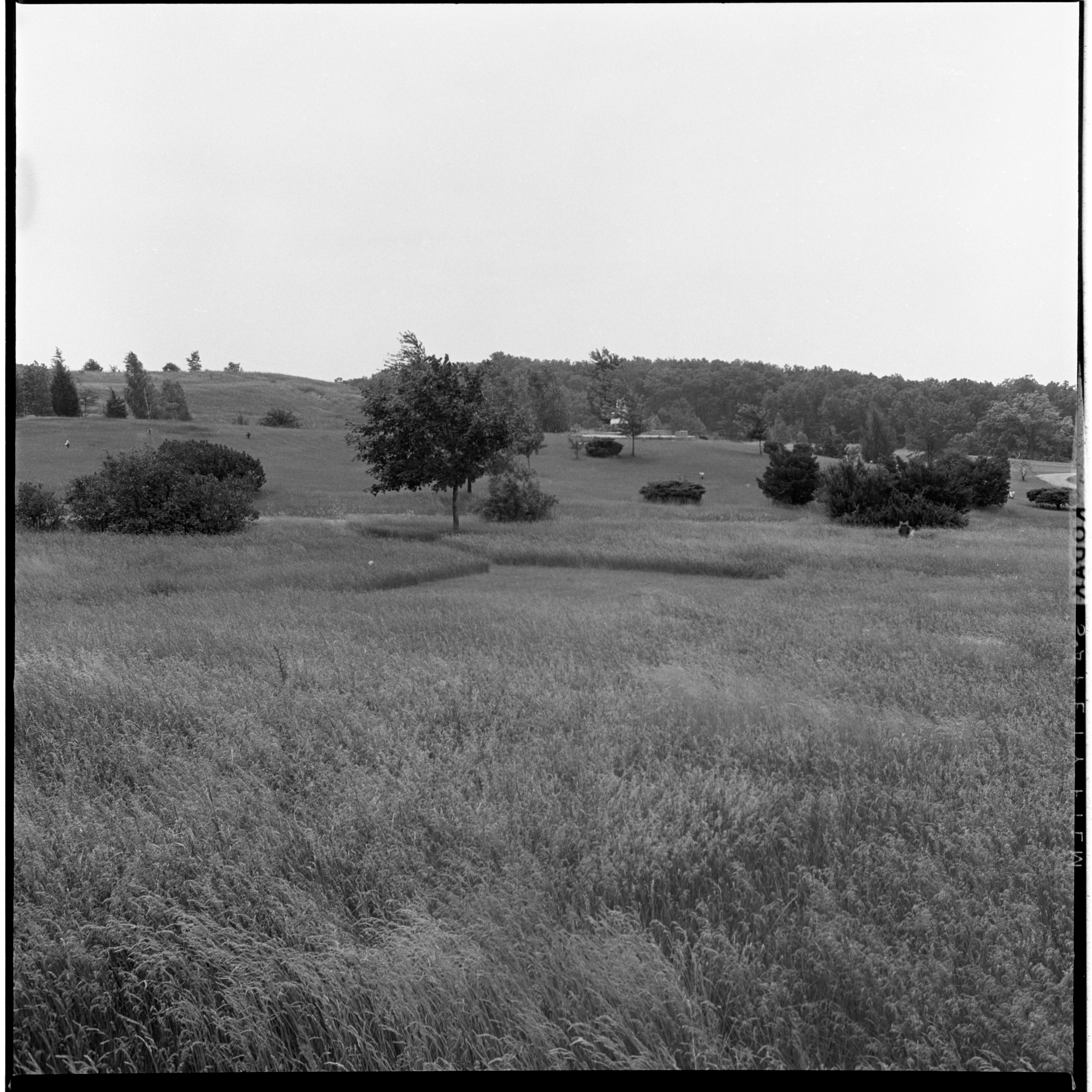 Partially Mowed Area In Overgrown Arborcrest Cemetery, July 1966 image