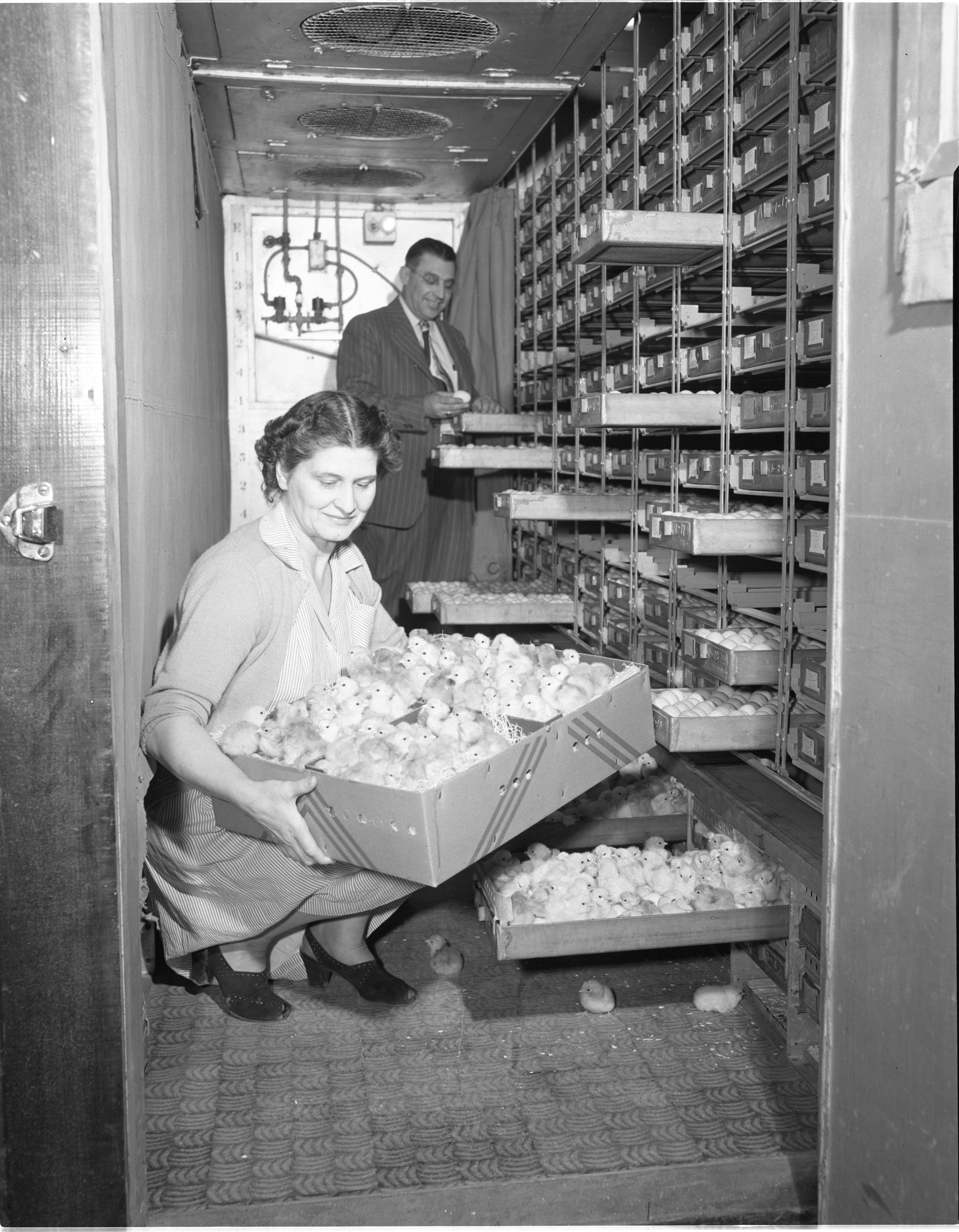 Newly Hatched Baby Chicks At Klager's Hatchery, Bridgewater, January 1949 image