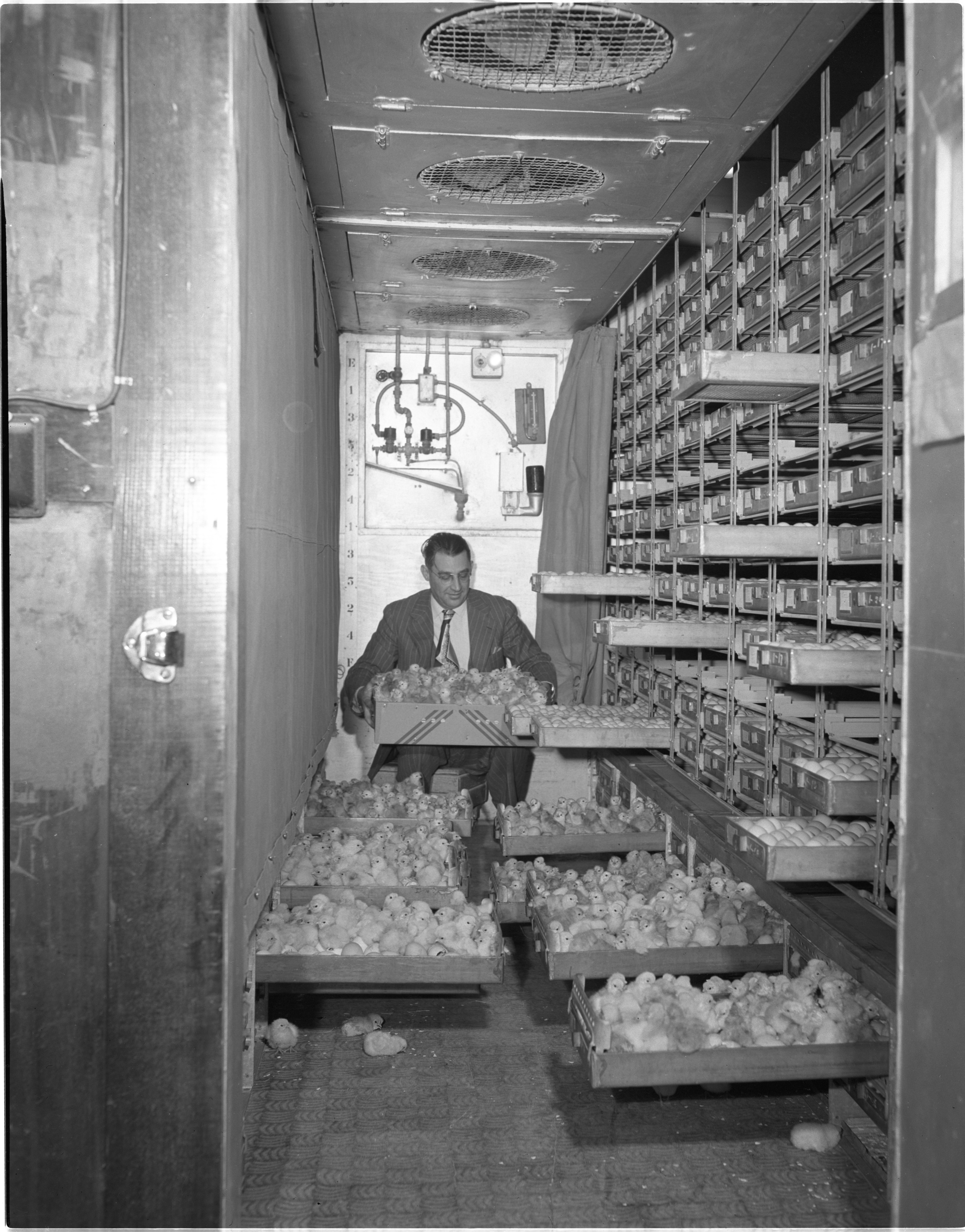 Luther Klager & Newly Hatched Baby Chicks At Klager's Hatchery, Bridgewater, January 1949 image