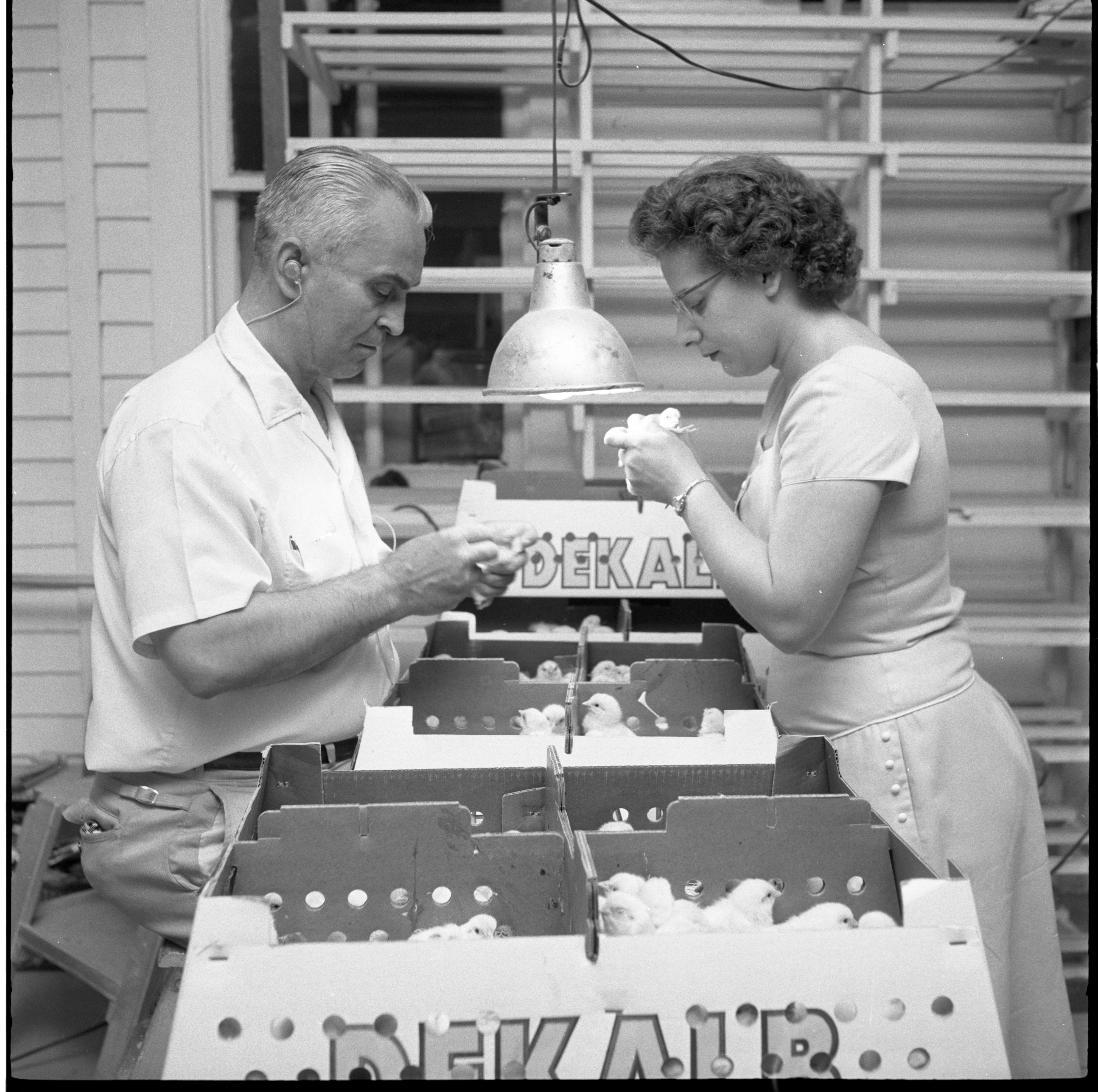 Newly Hatched Chicks Are Inspected At Klager's Hatchery, June 1959 image