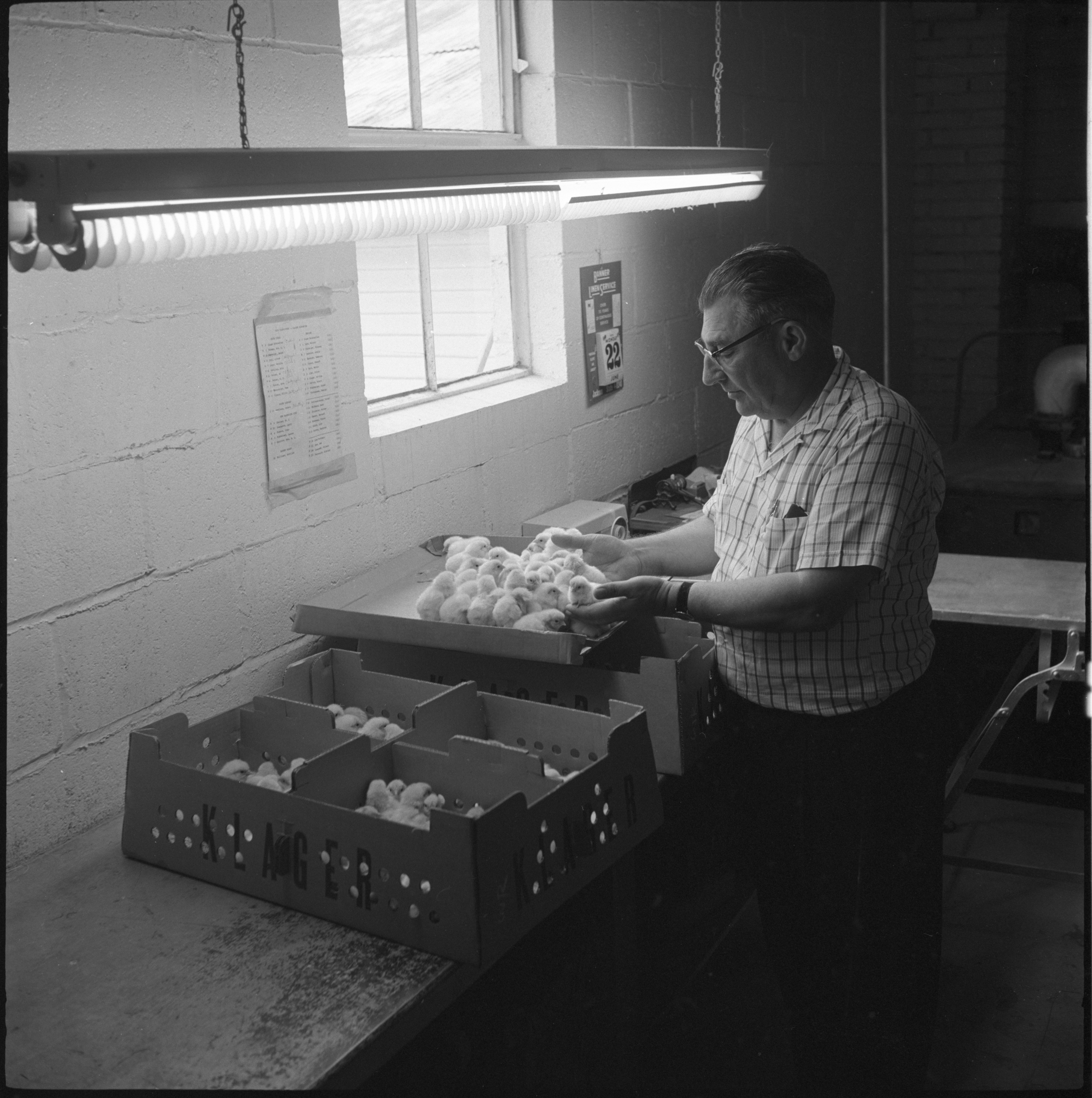Luther Klager With Newly Hatched Chicks At Klager's Hatchery, June 1959 image