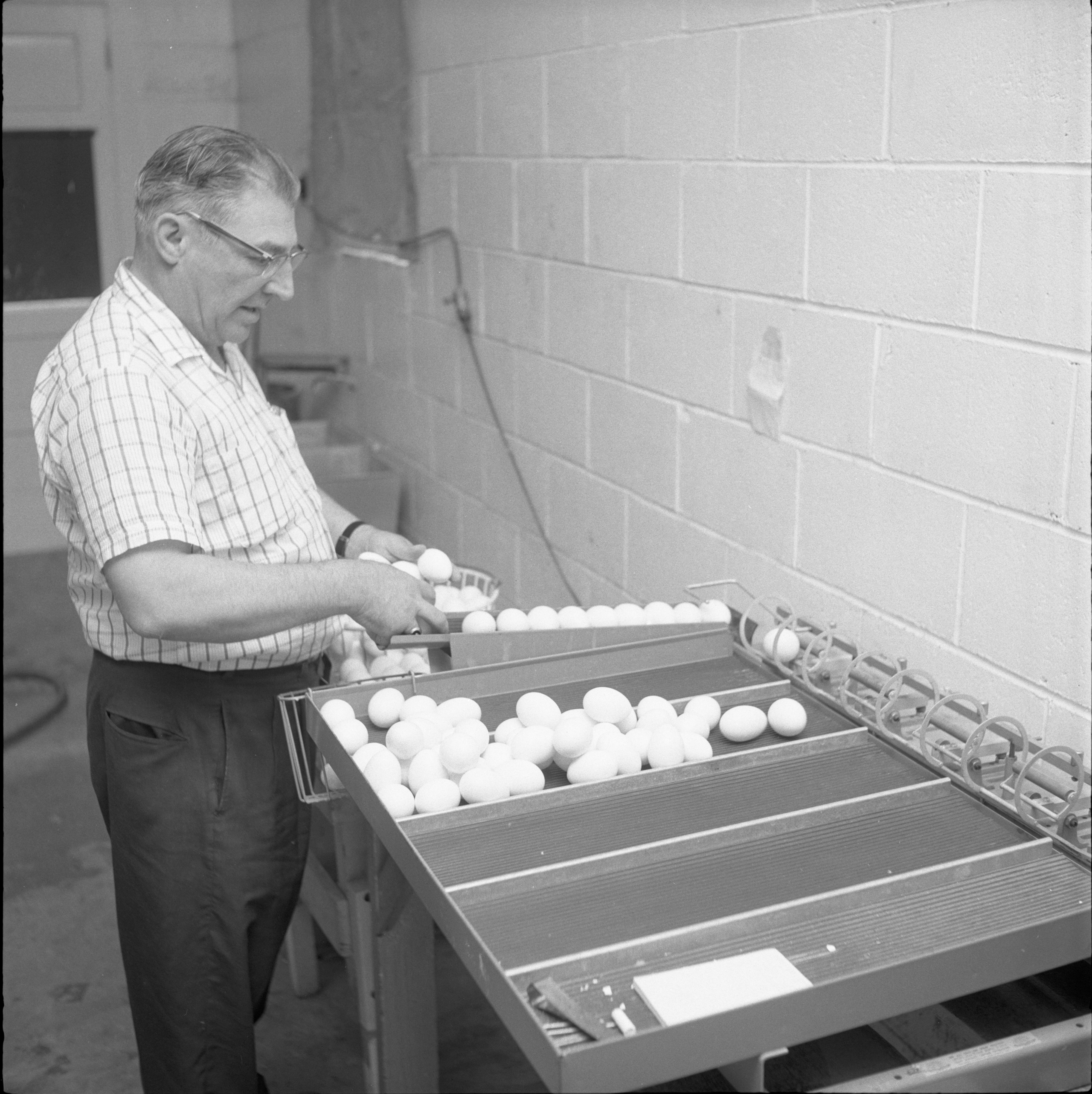 Luther Klager Inspects Eggs At  Klager's Hatchery, June 1959 image