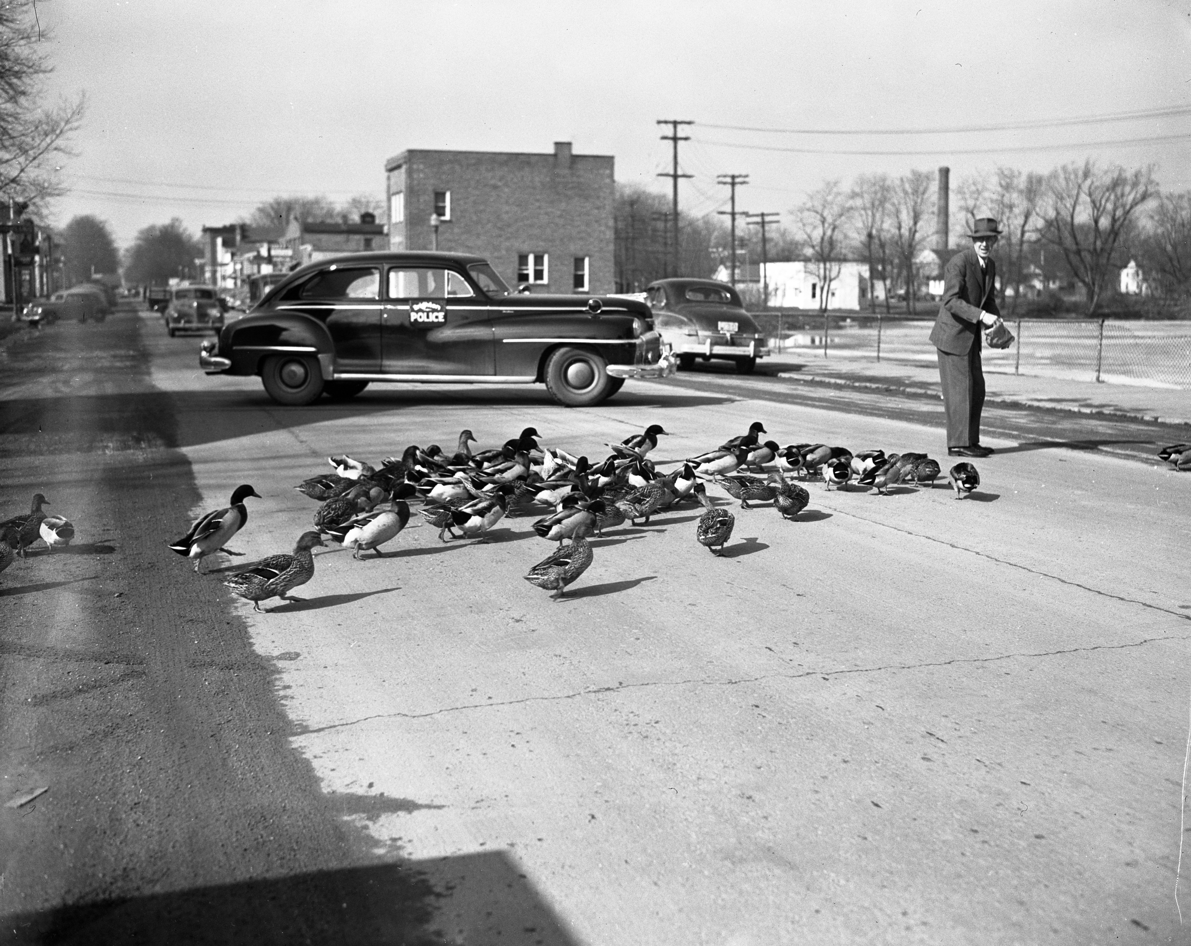 Ducks Migrate Across Main Street In Brighton, February 1948 image