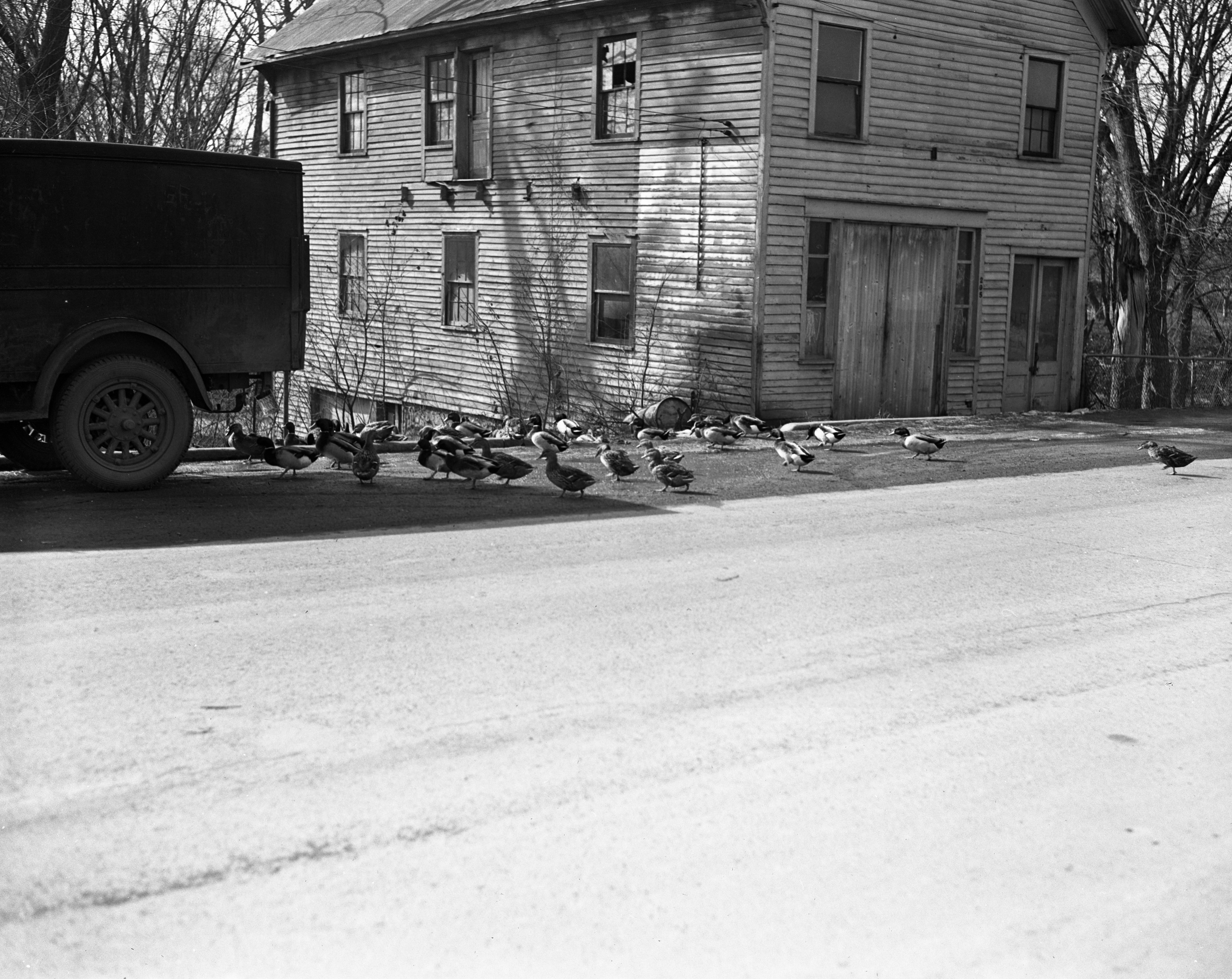 Ducks Migrate In Brighton, February 1948 image