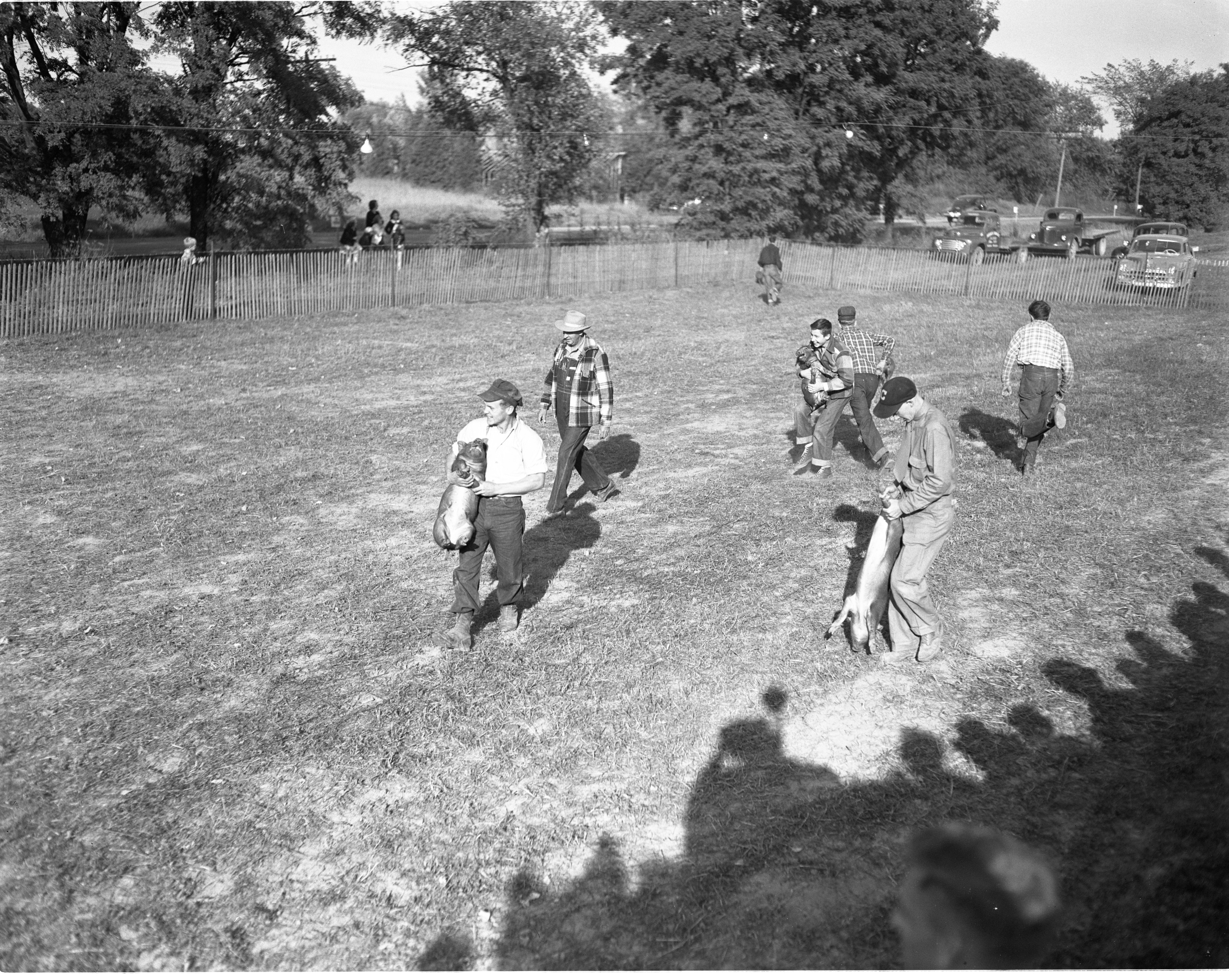 Pig Scramble At The Chelsea Community Fair, October 1950 image