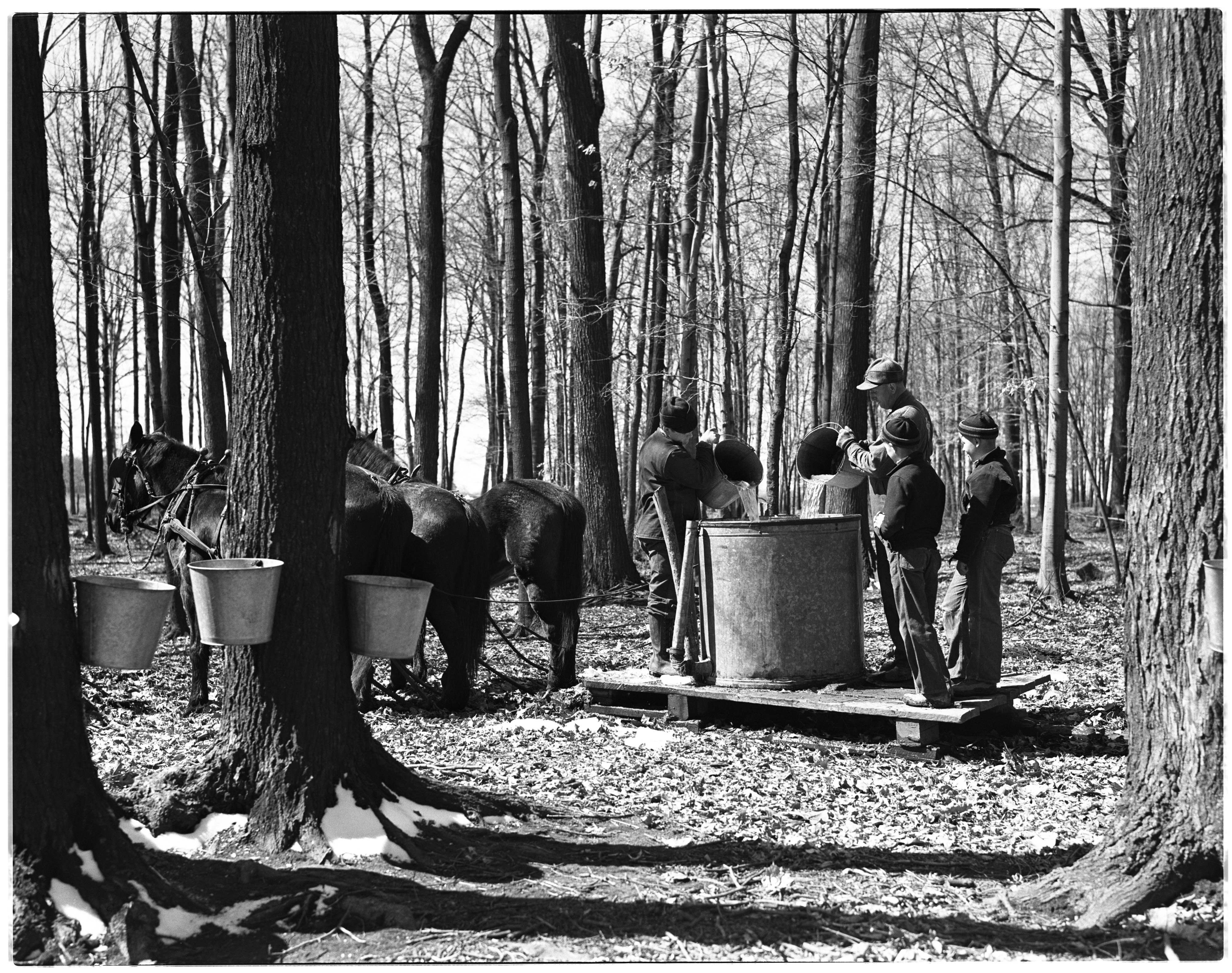 Harvesting Sap for Maple Syrup, Milan image