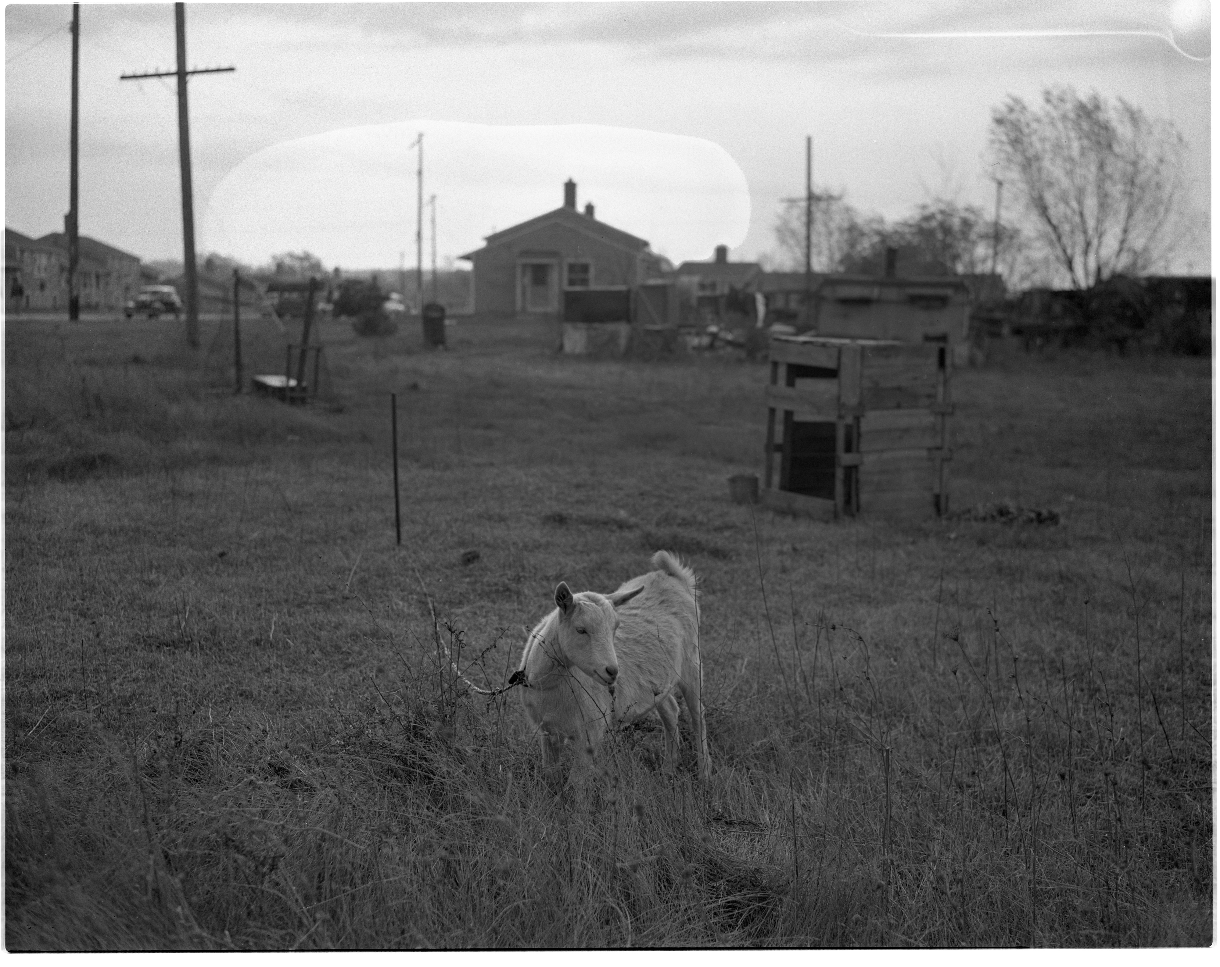 Goat from Condemned Property in Pittsfield Village, November 1944 image