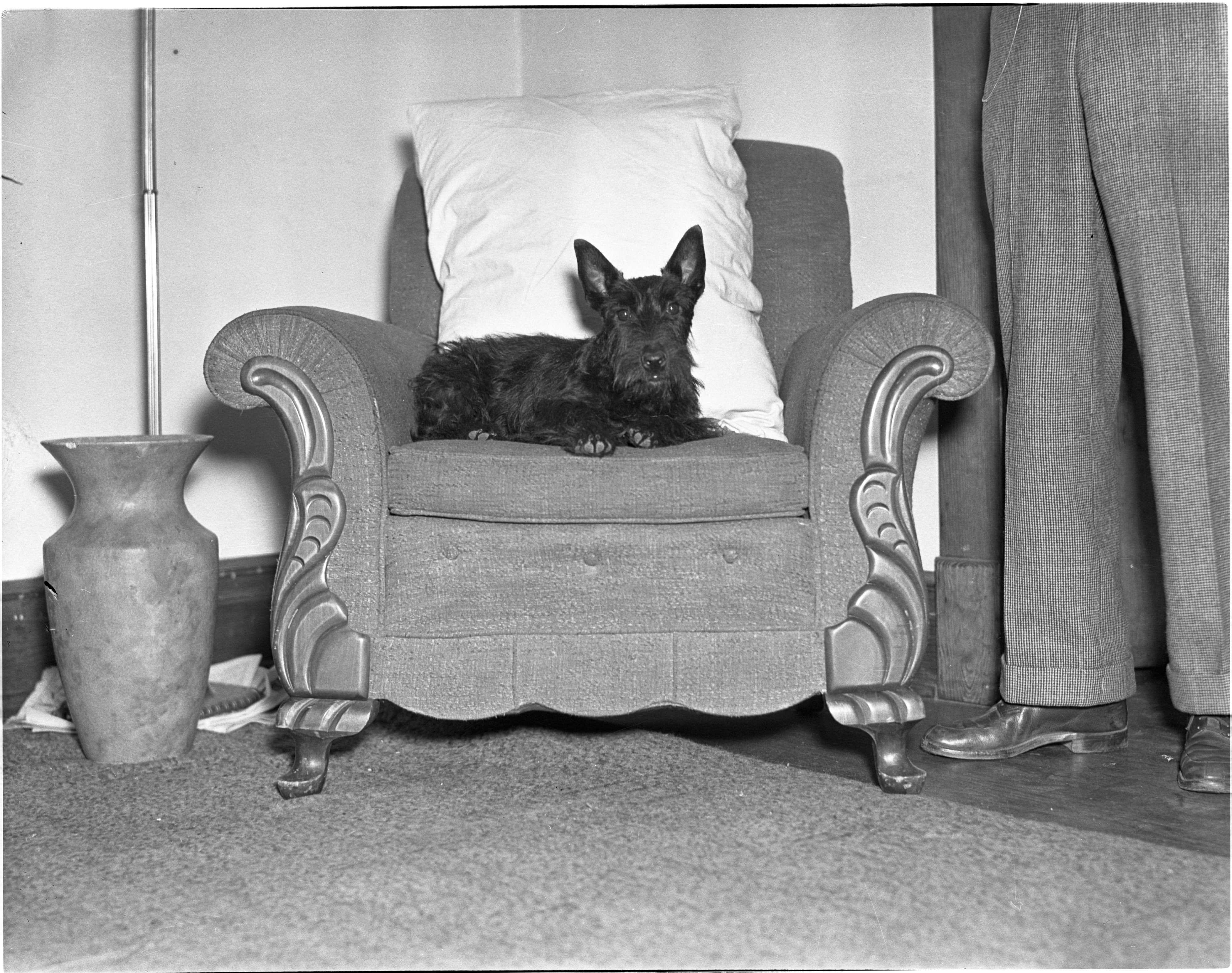 Scotland Terrier image