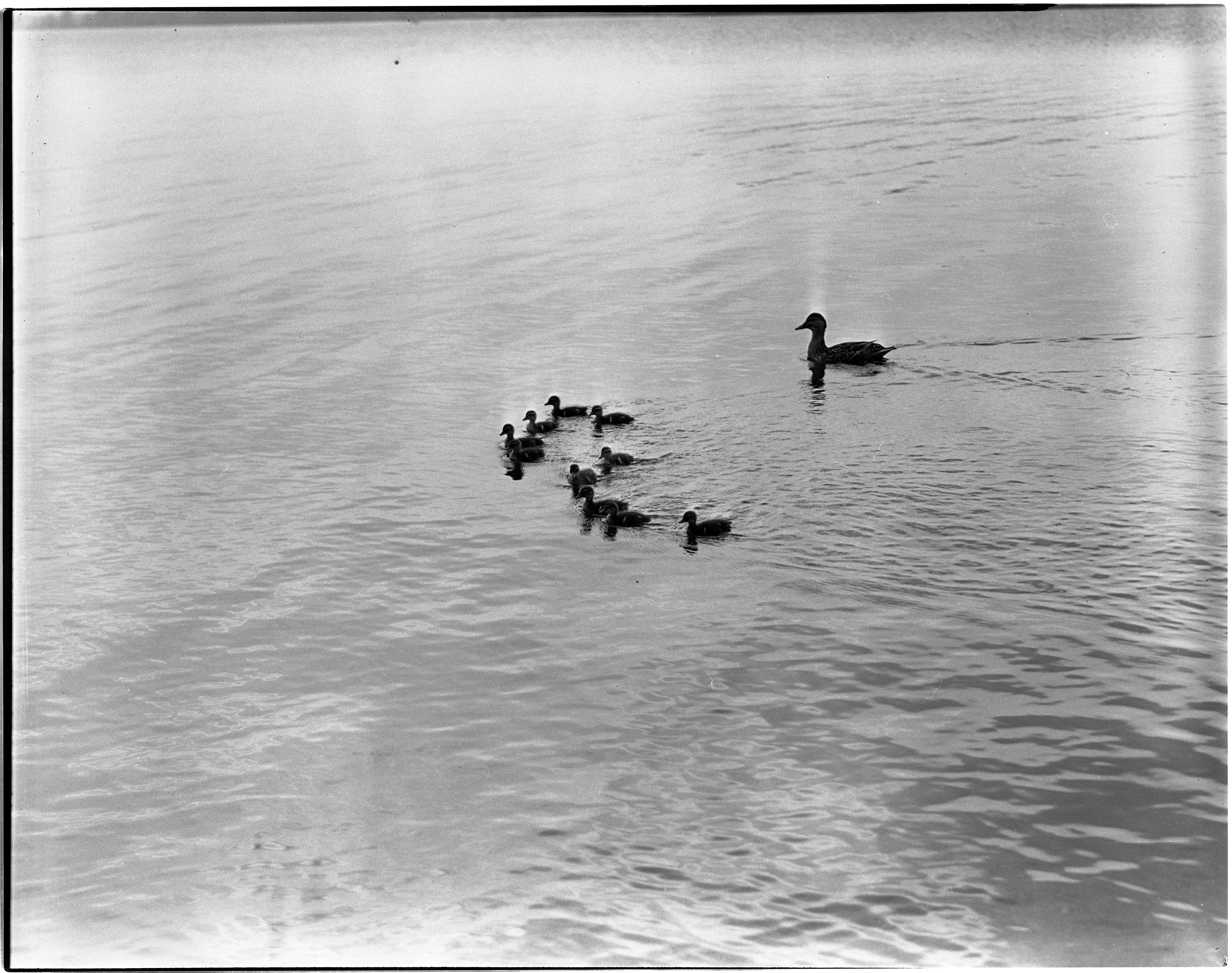 Duck & Ten Young on Portage Lake image