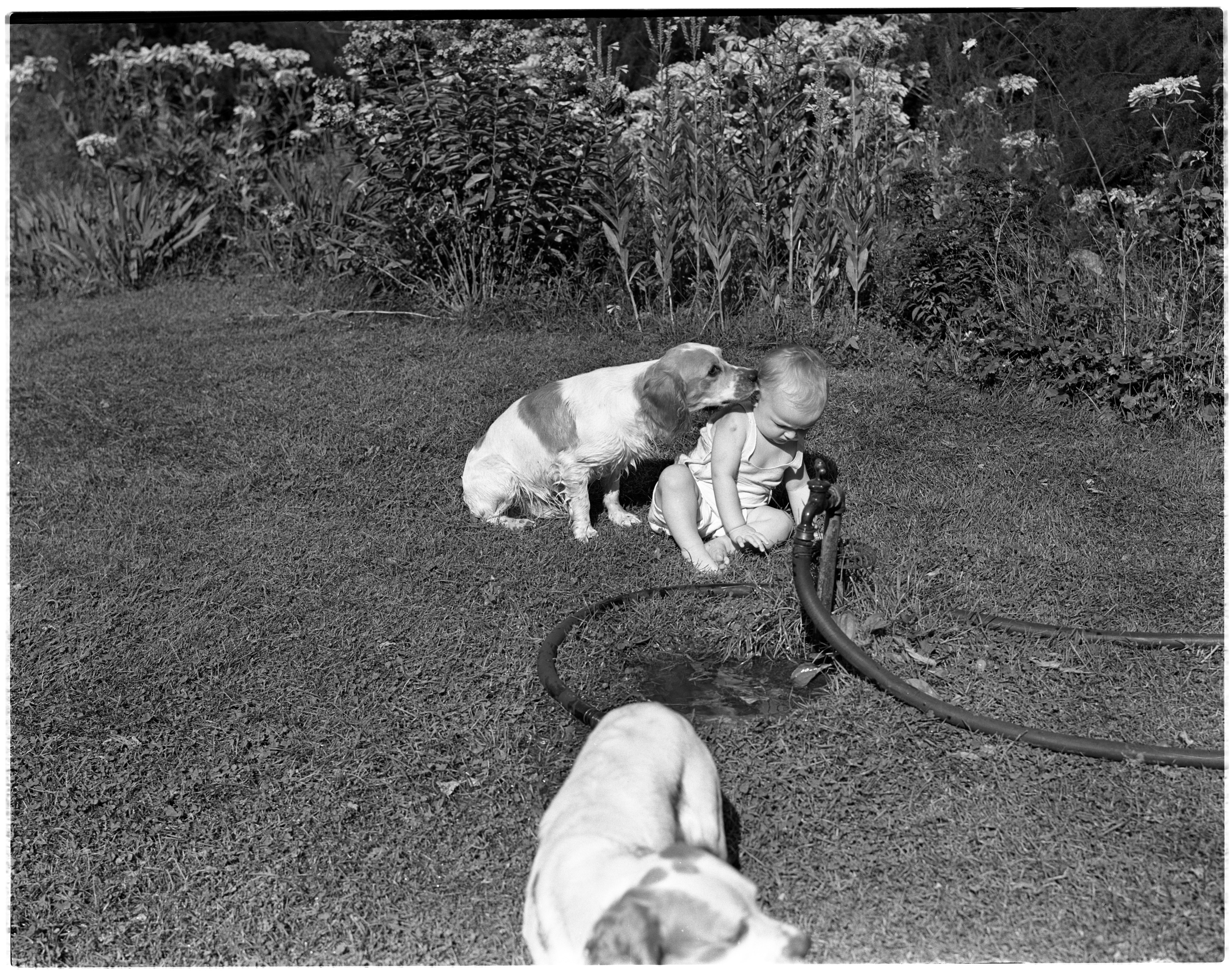 Dogs and Baby on a Lawn, Milford image