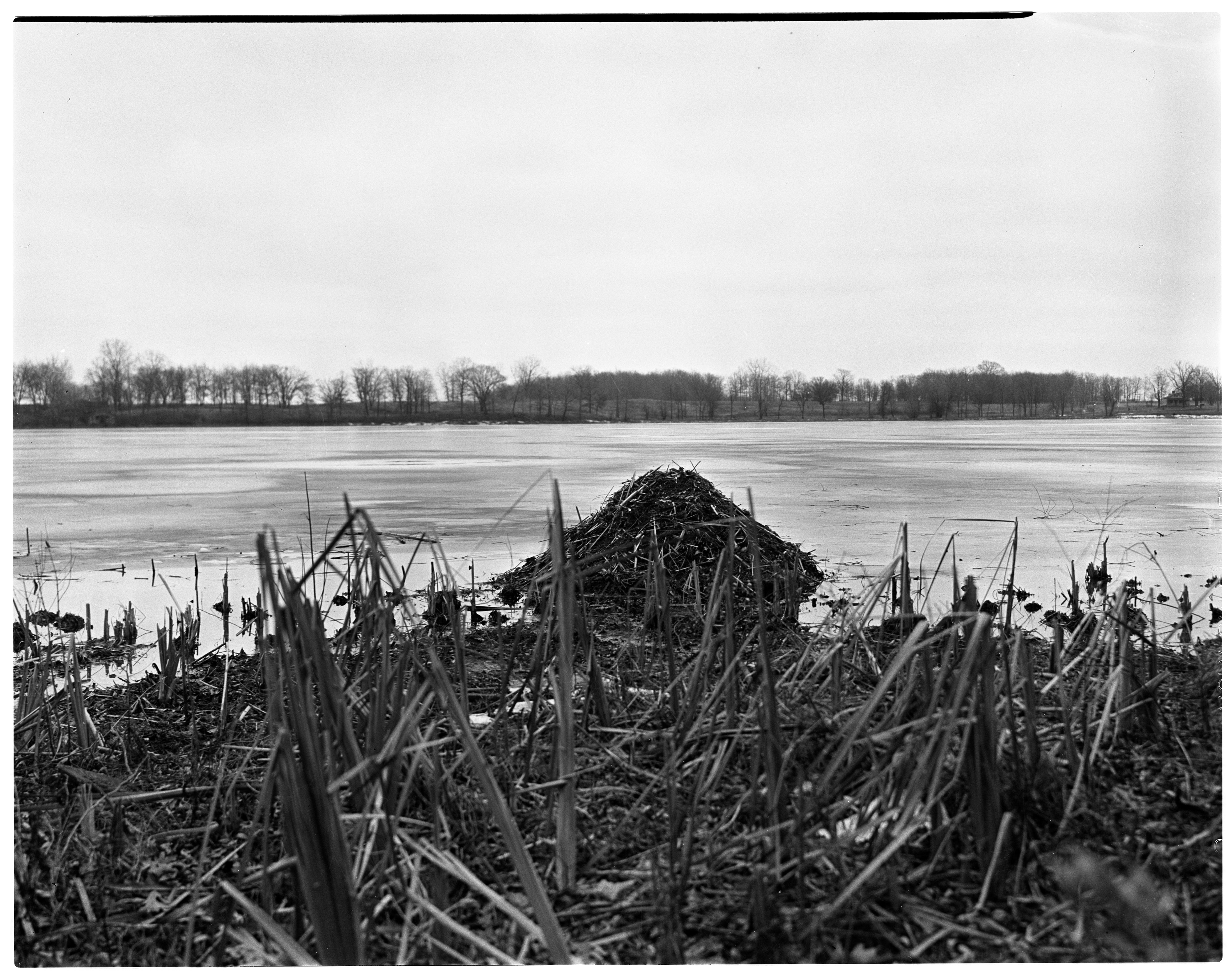 Muskrat Houses,  Silver Lake & Swamp image
