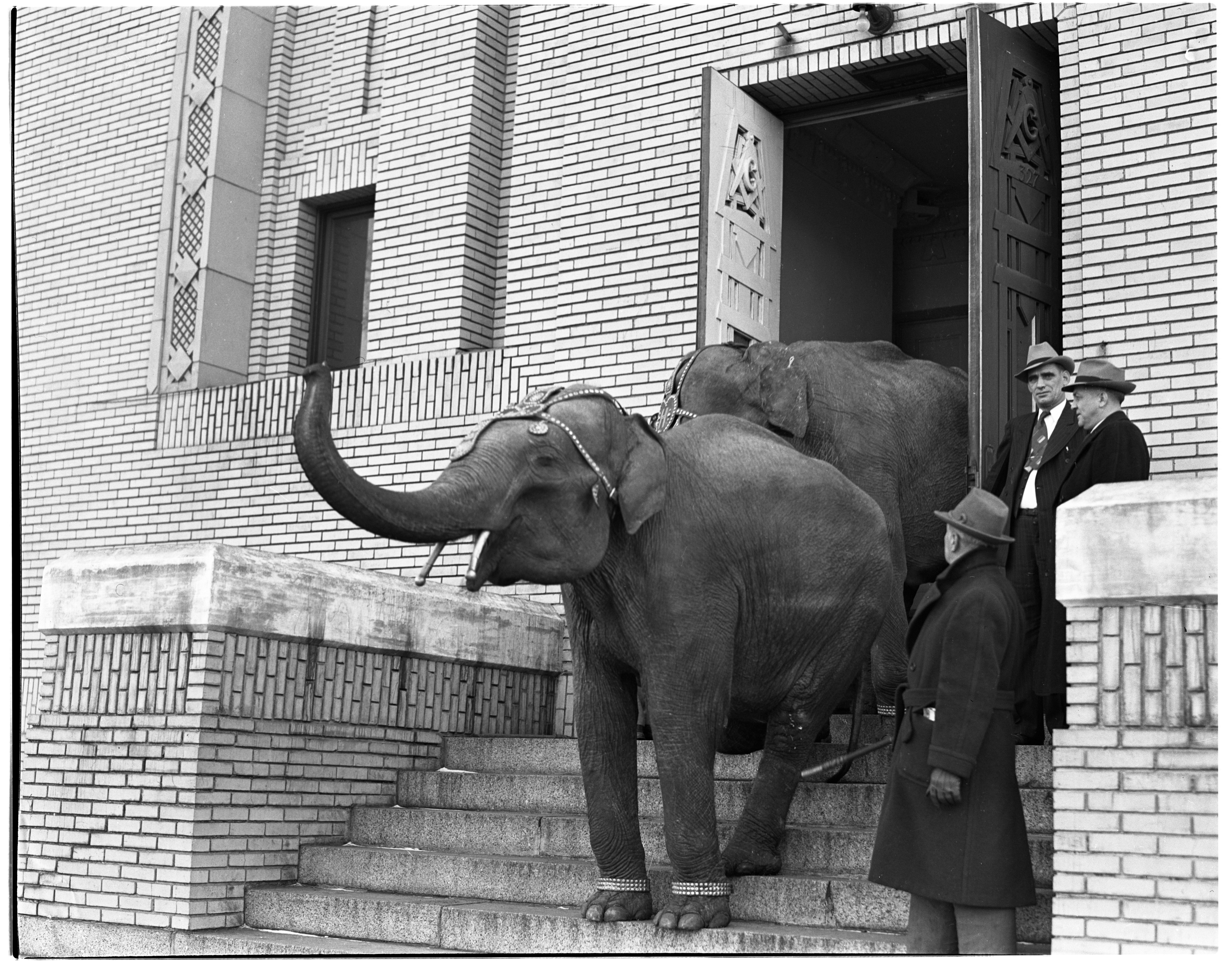 Elephants at the Masonic Temple on Fourth Ave, Grotto Circus, February 1940 image