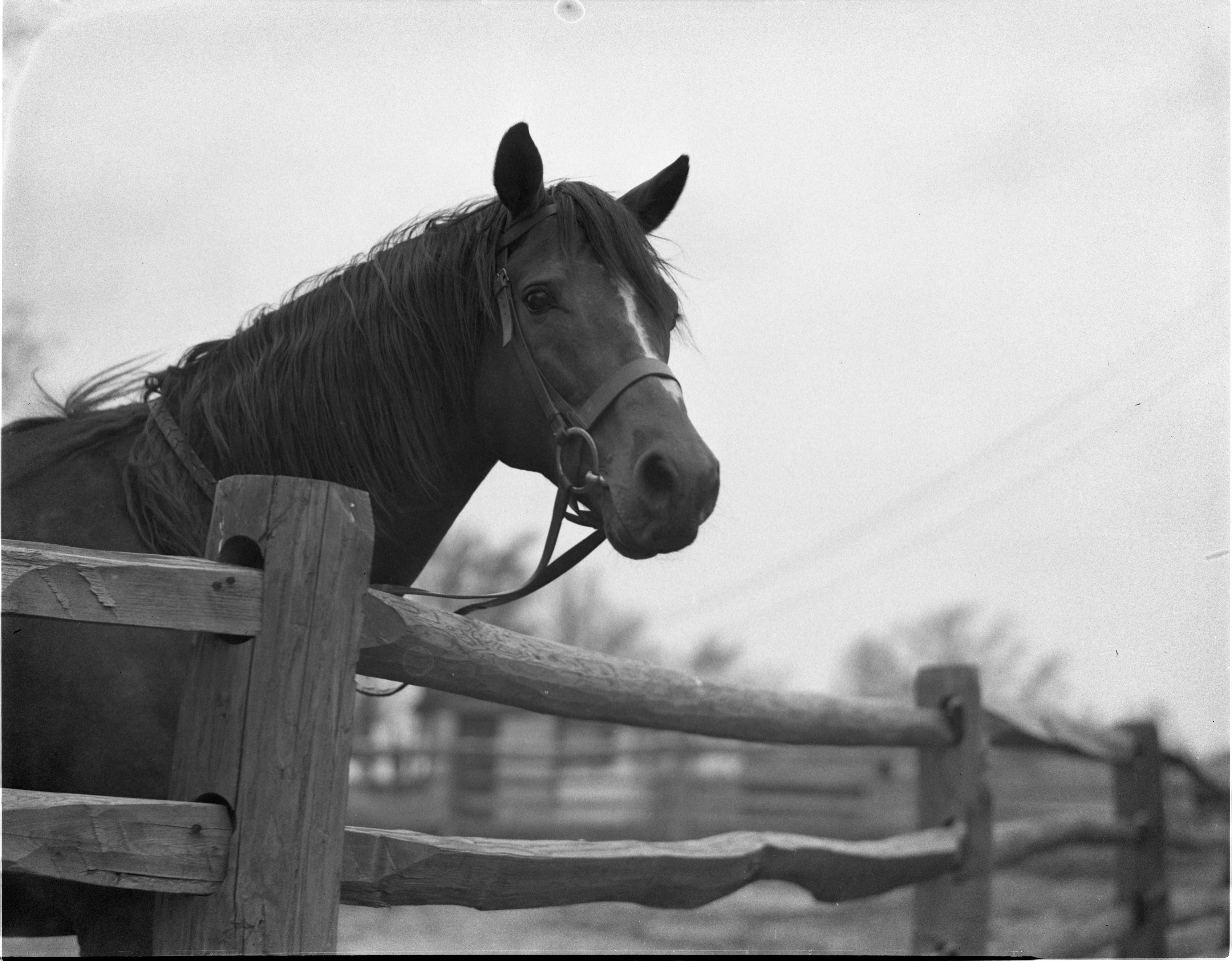 Doc Jock, U. S. Army Remount Stallion, At C. J. Wageman Farm - May 1943 image