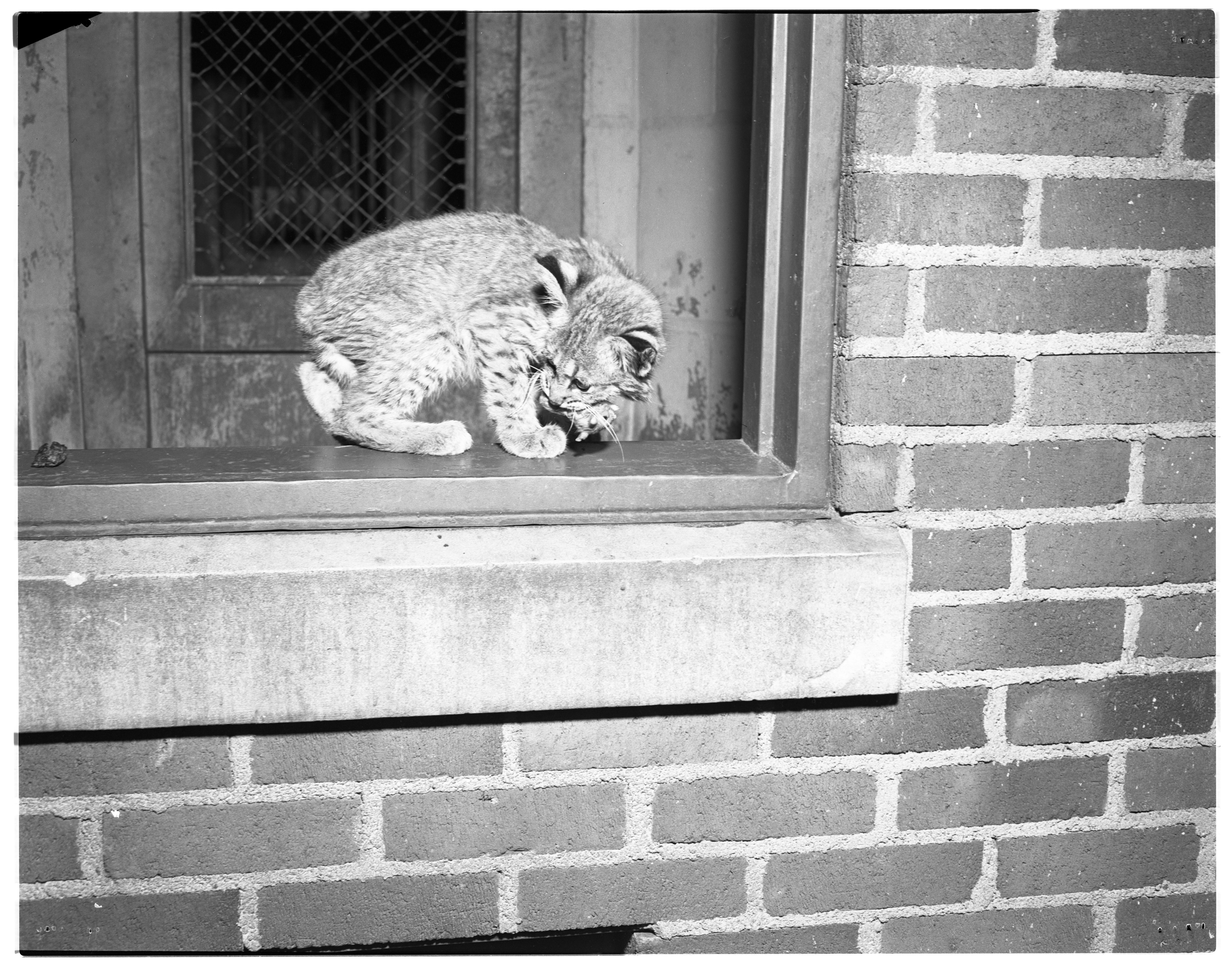 Wildcat At The University Of Michigan Zoo, August 1952 image
