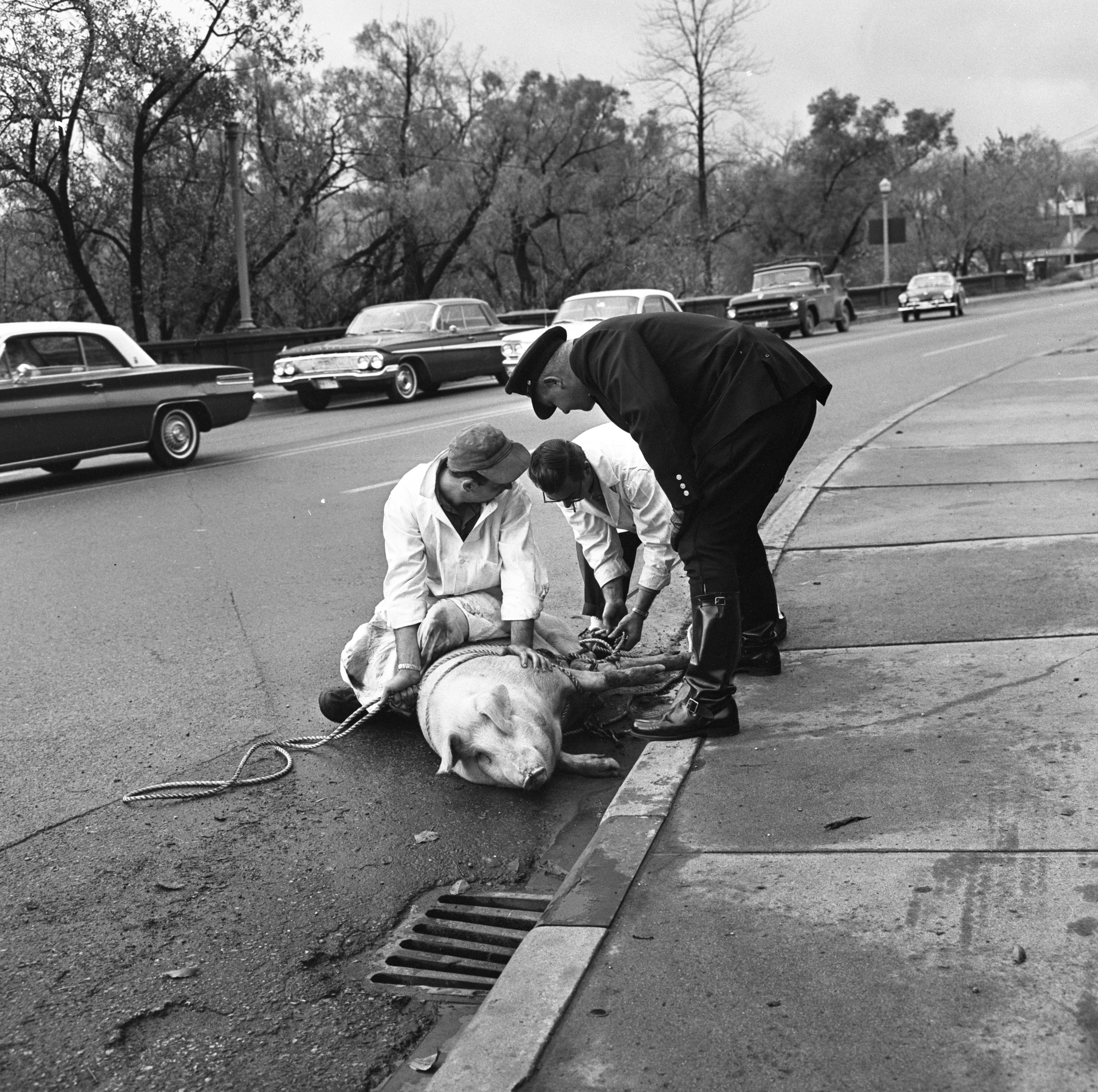 Peters Sausage Company Employees Handle A Loose Pig On Broadway, November 1963 image