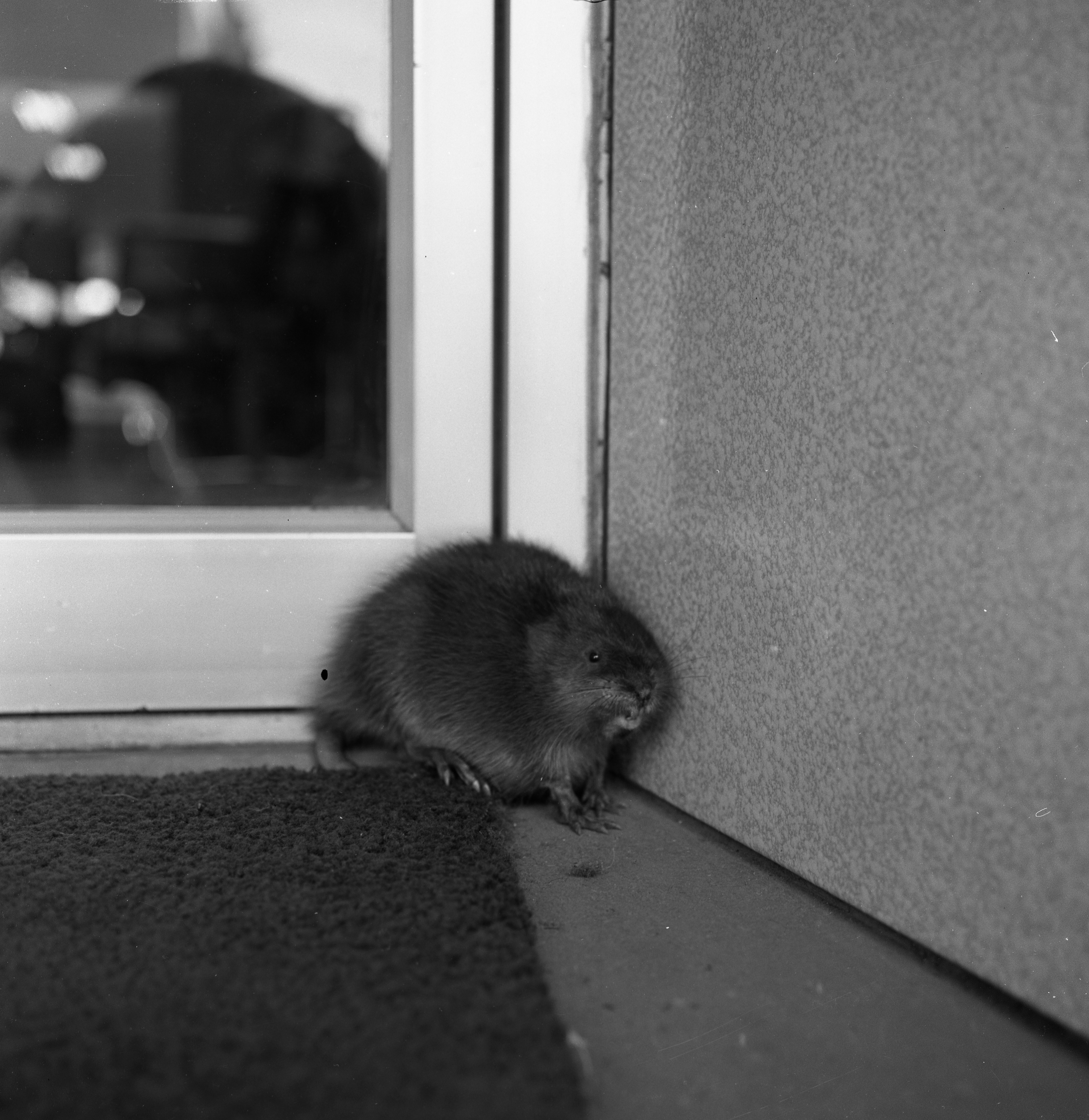 Muskrat Found at Doorway of Mast Shoe Store on Liberty St. Wakes Up, March 1964 image