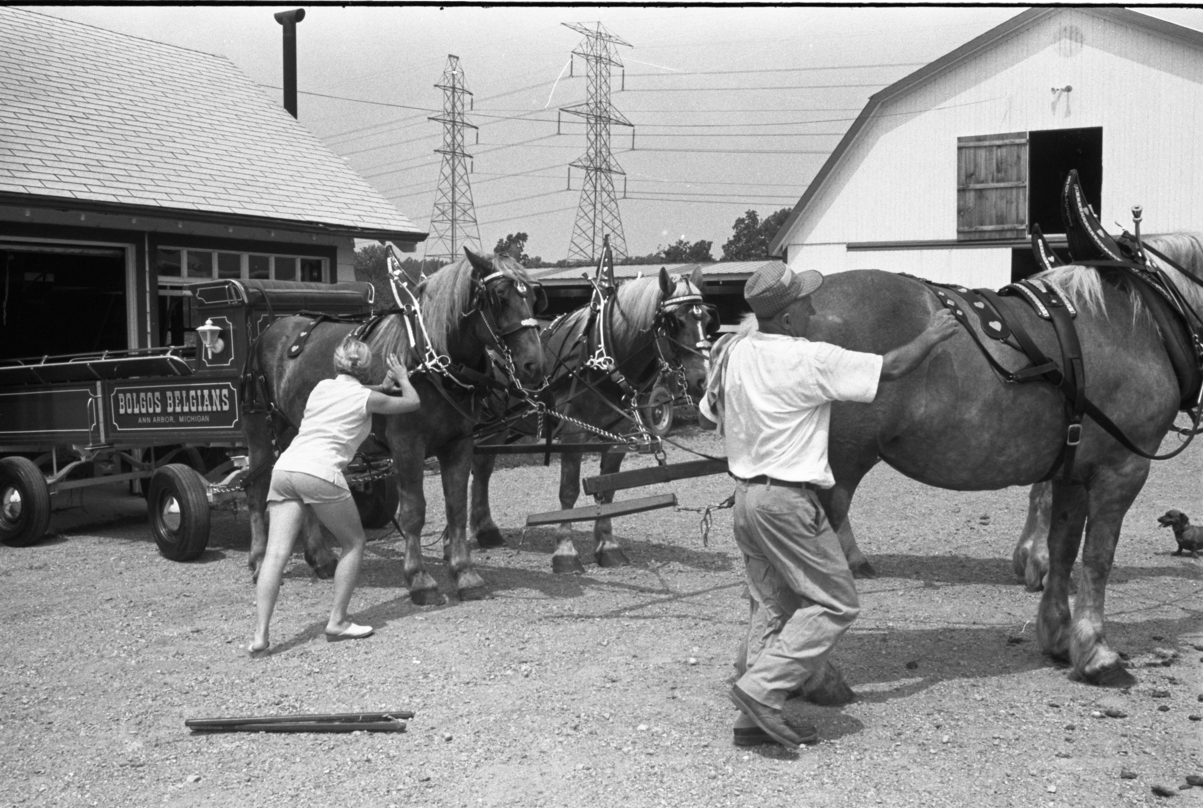 Zina Bolgos Readies His Belgian Draft Horses For The 4-H Show, July 29, 1973 image