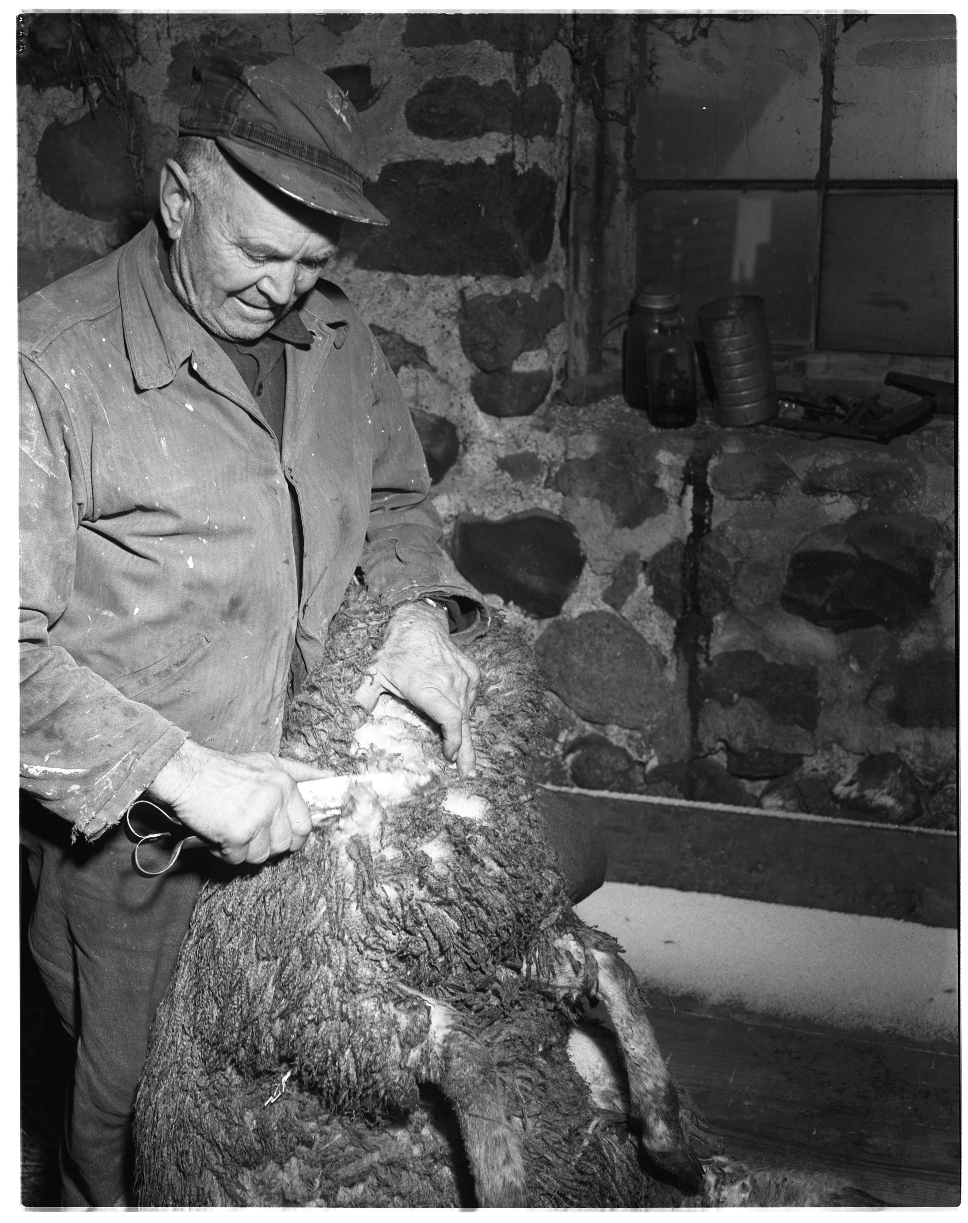 C.D. Finkbeiner Shearing Sheep image