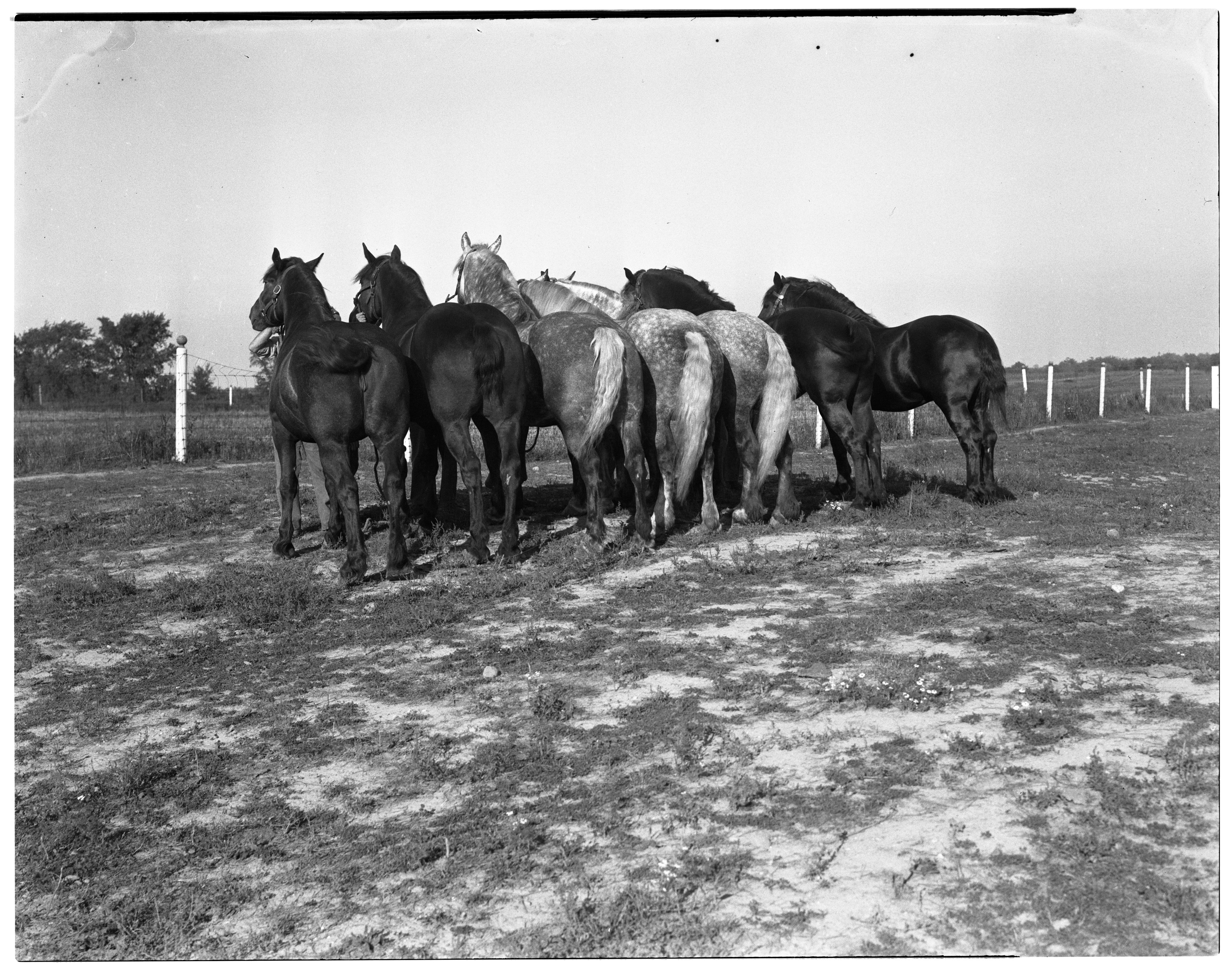 Horses from the Percheron Stable at Dhu Varren Farm image