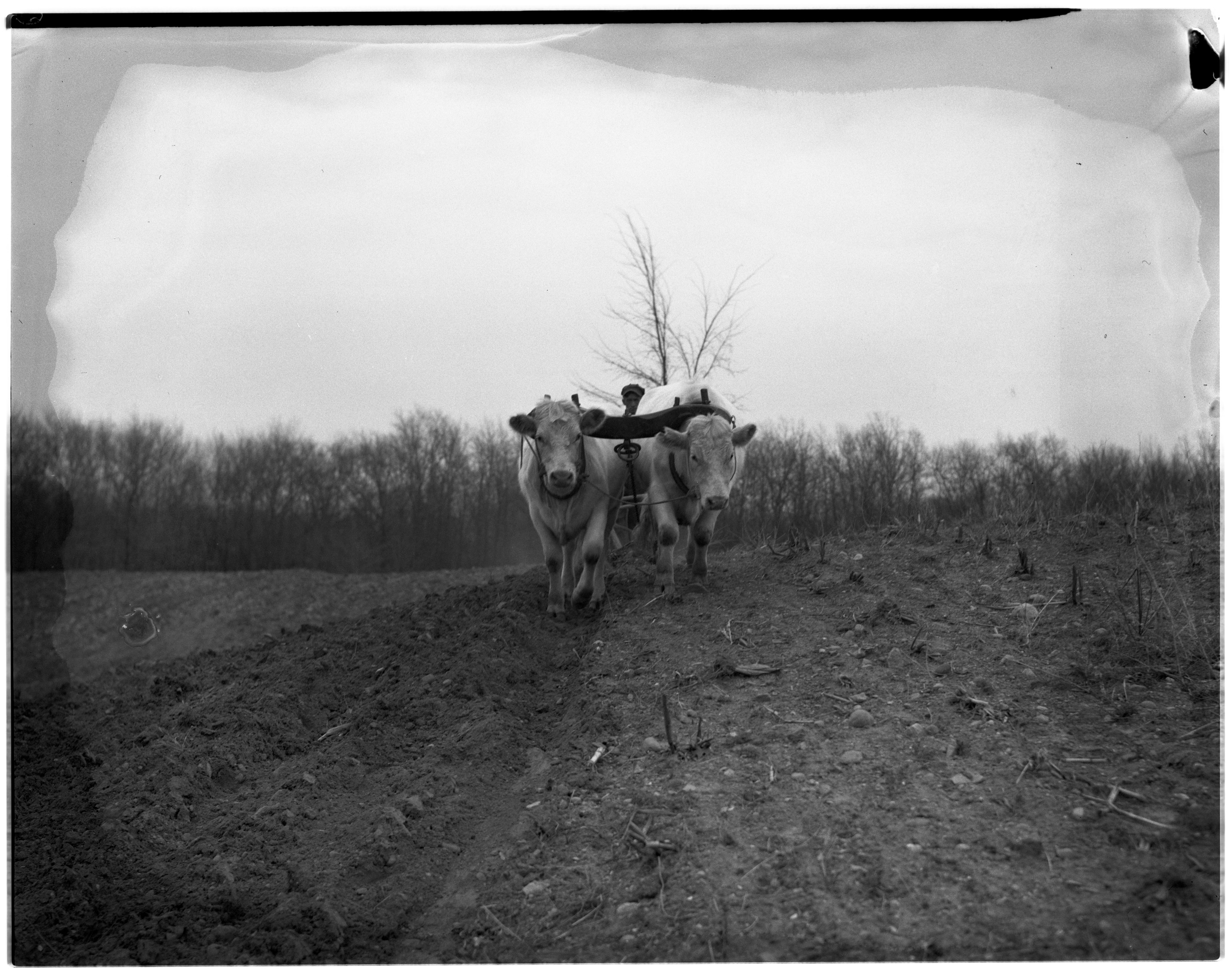 White Oxen Plowing A Field image