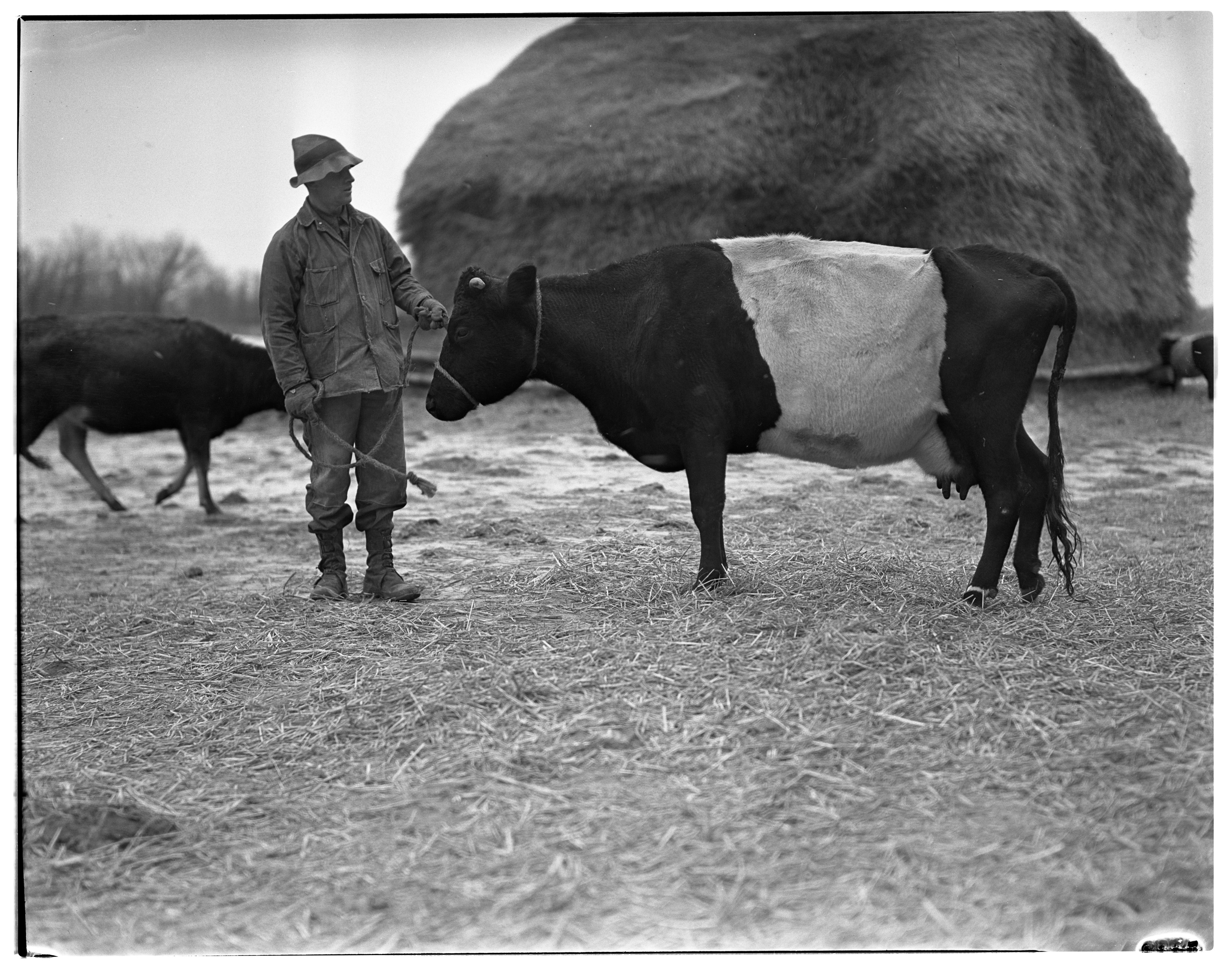 J.C. Bradbury's Dutch Belted Cattle, January 1938 image