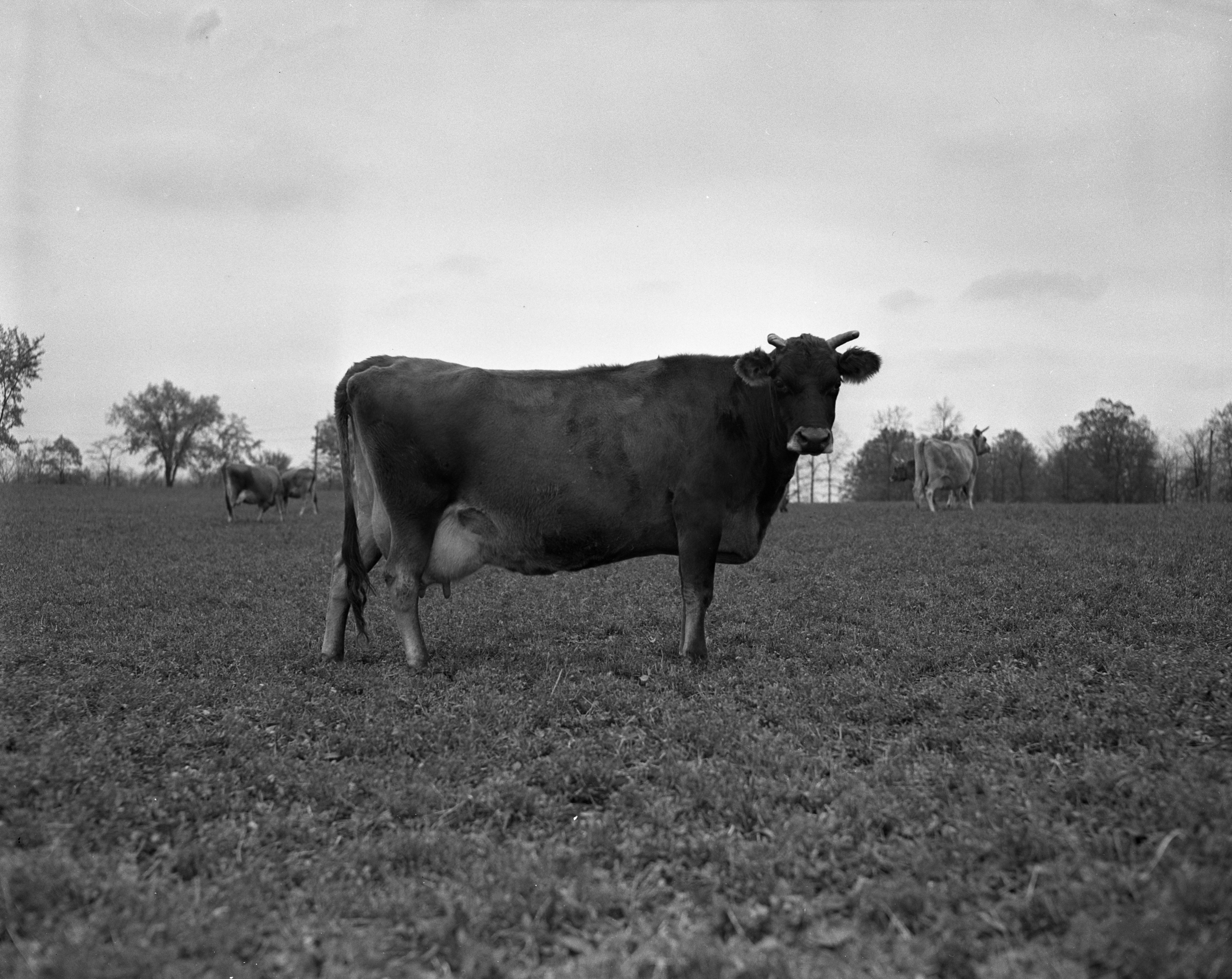 Ypsilanti Bell, Henry J. Oulmann's High-Producing Cow, November 1940 image