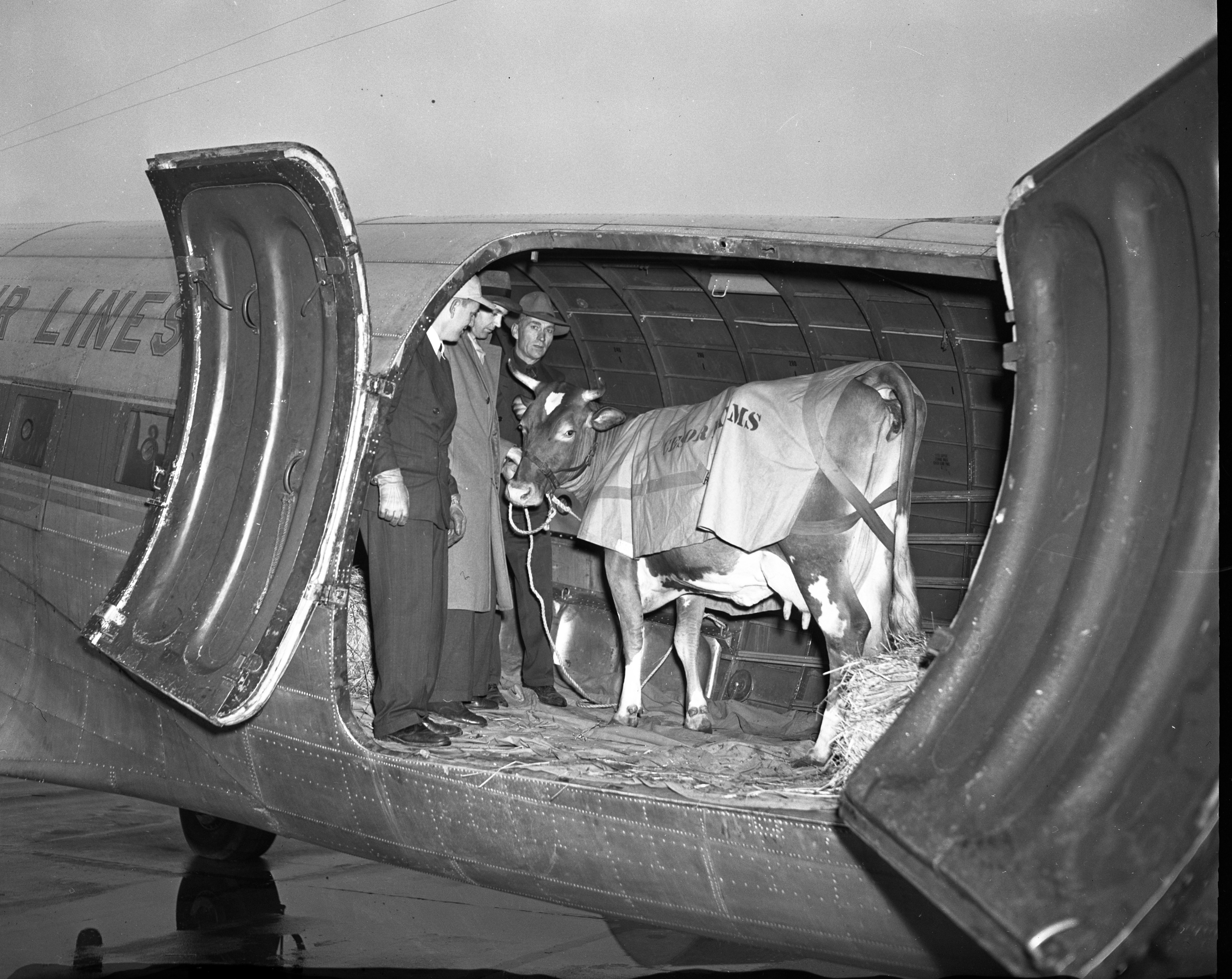 Irene the cow prepares to fly out of Willow Run Airport, November 1947 image