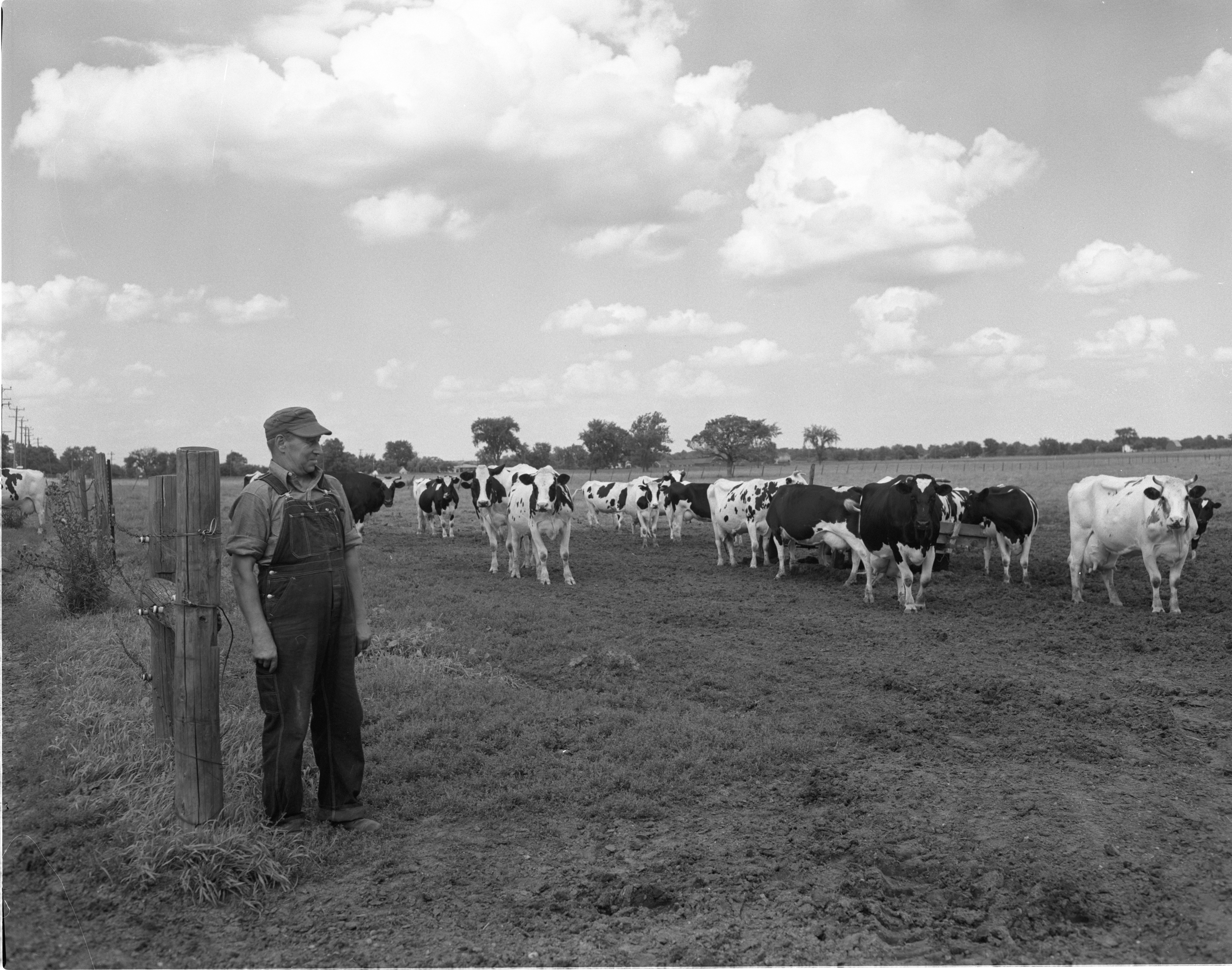 Gordon Gill With Cows On His Superior Township Dairy Farm, August 1956 image