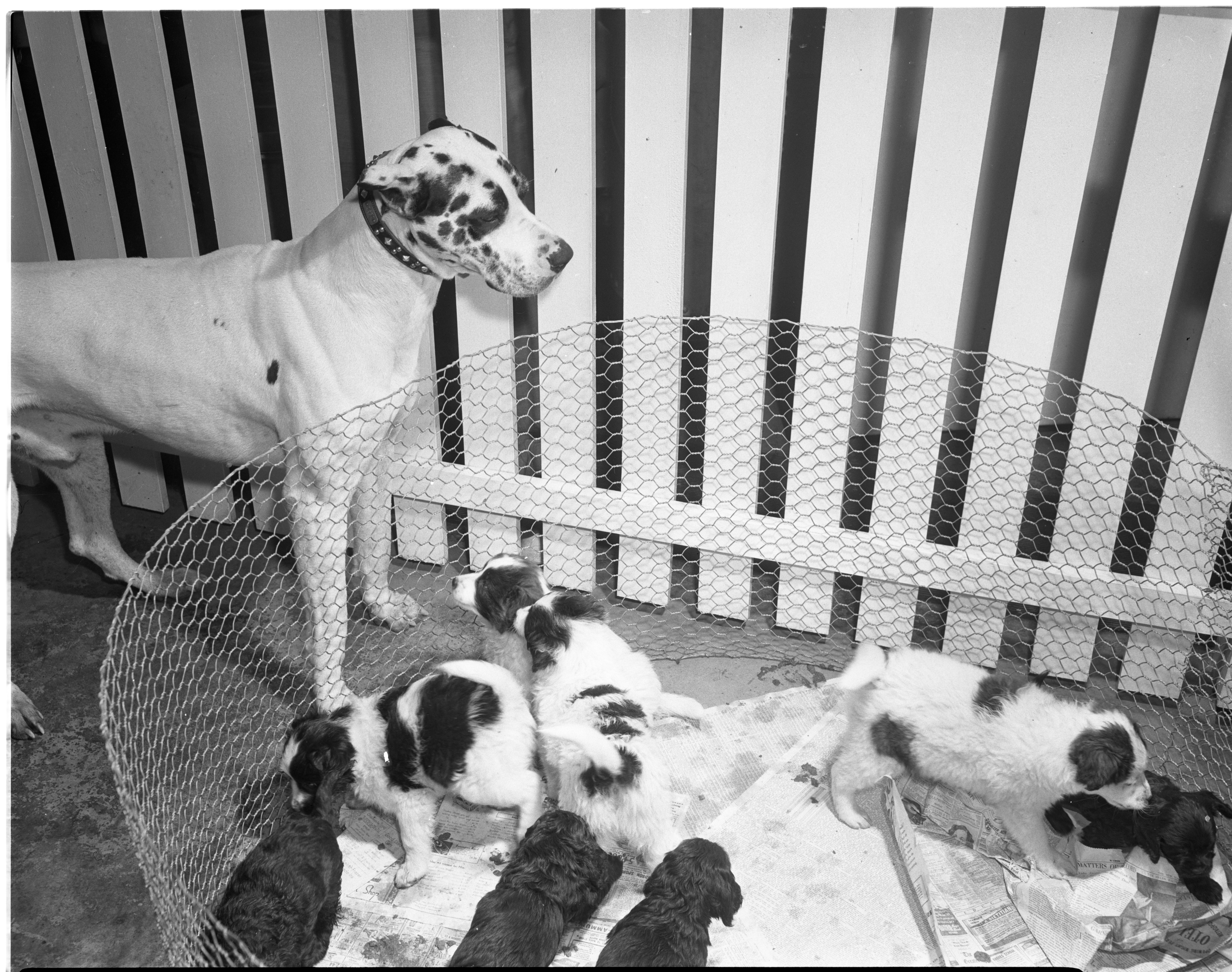 Humane Society Hopes Eight Pups Will Be Placed In Christmas Stockings, December 1948 image