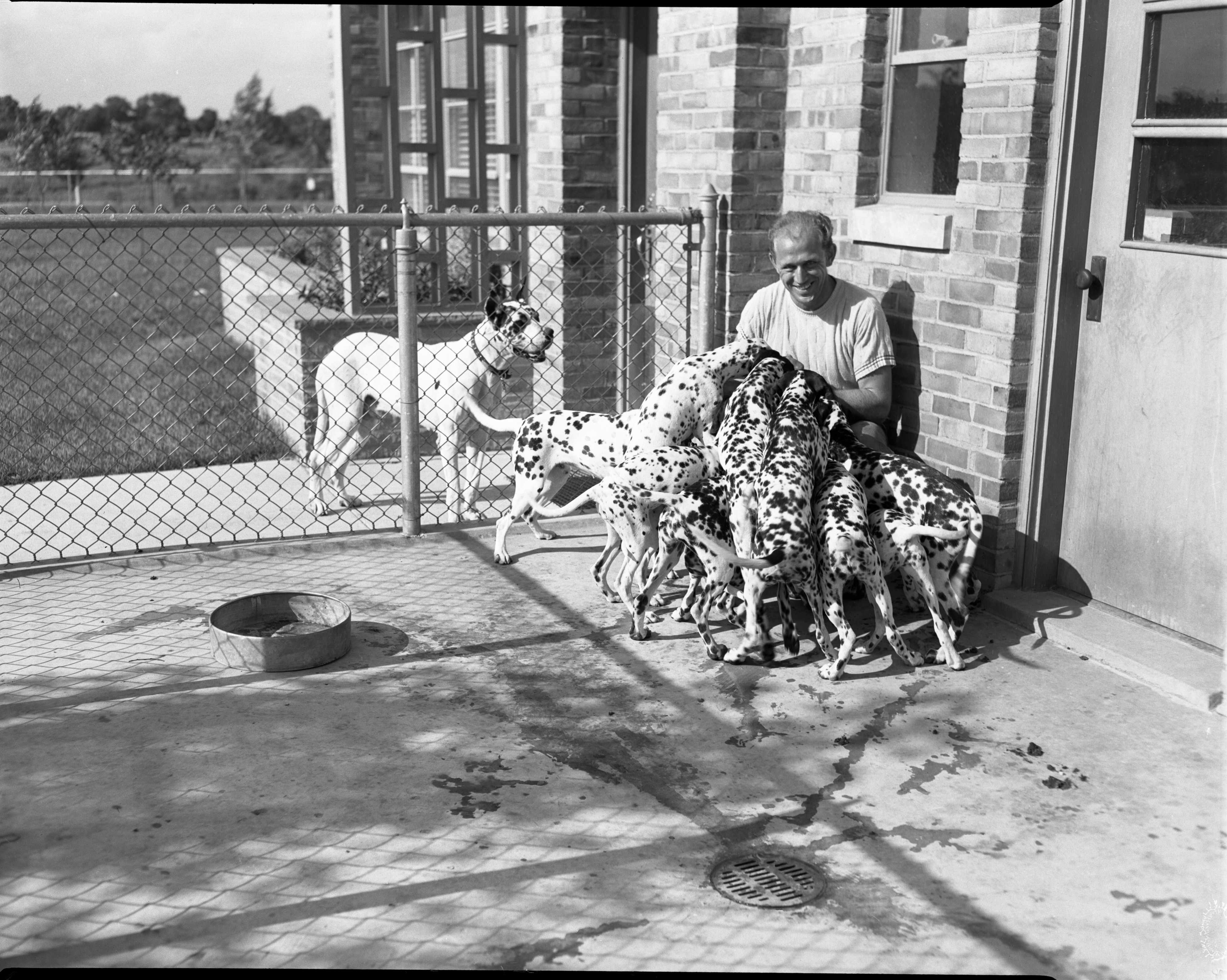 Dalmatians at the Ann Arbor Humane Society, August 1952 image