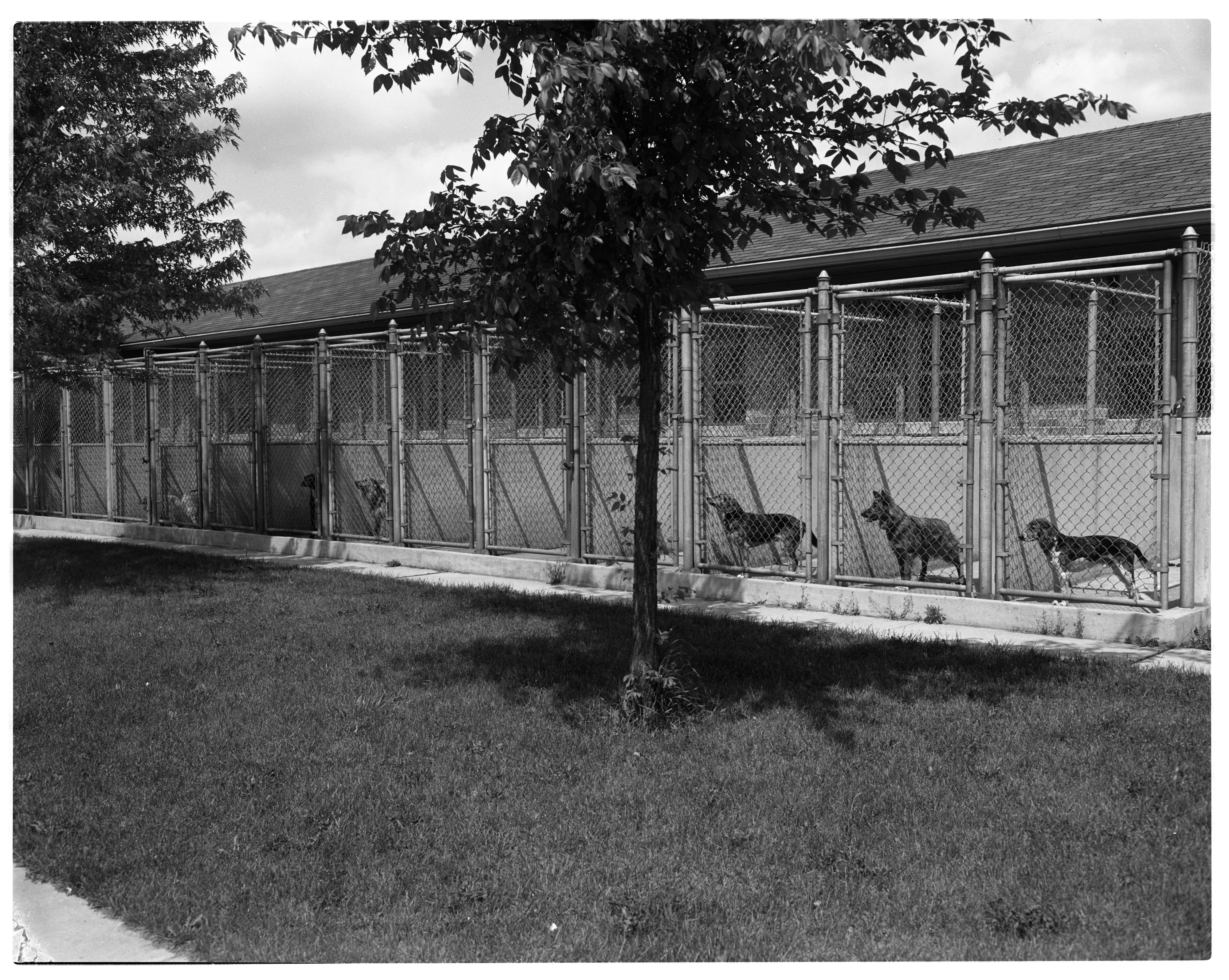 Outdoor Cages of Lost  or Unwanted Dogs at Humane Society Shelter, May 1957 image