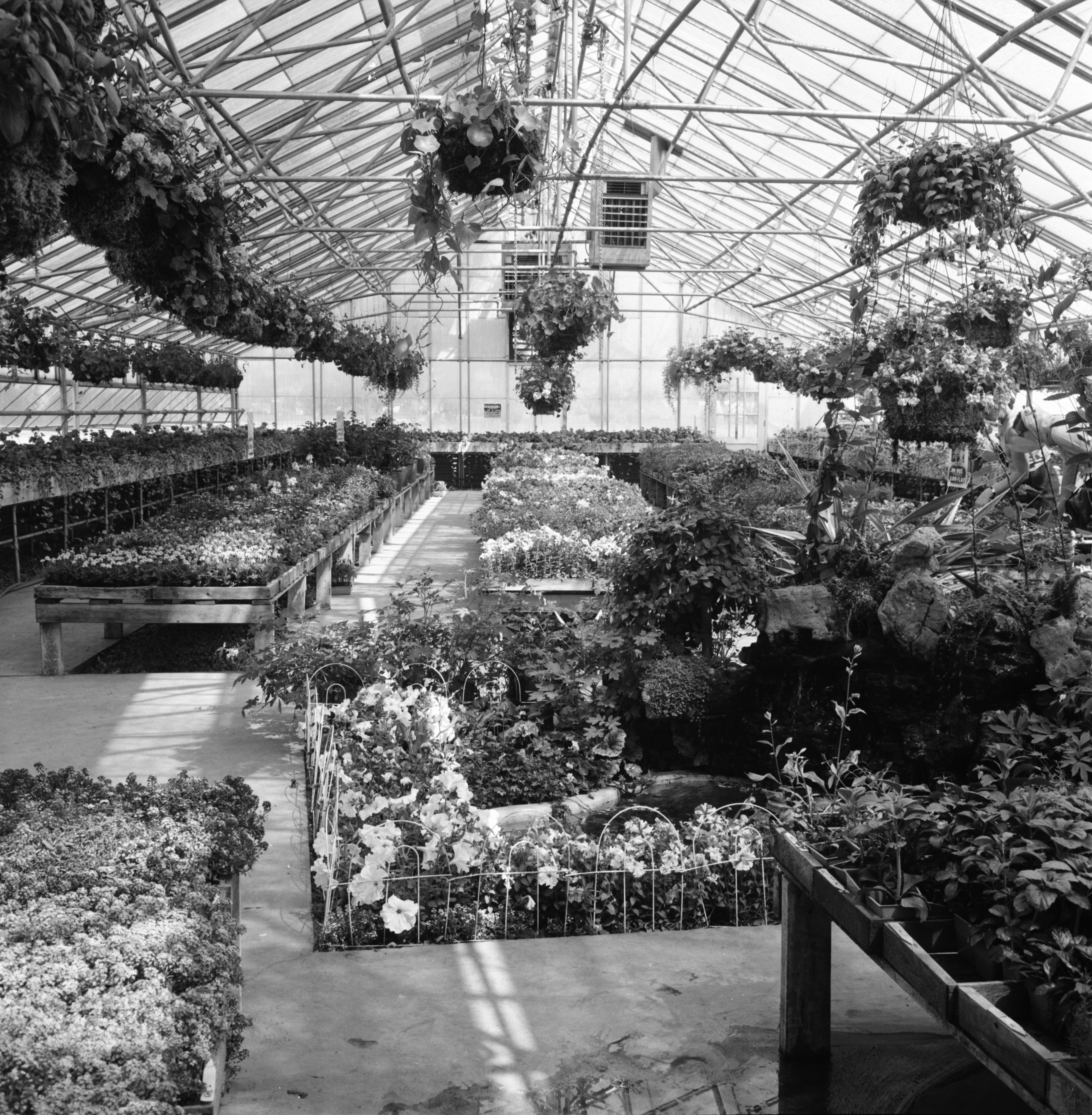 Hanging Flower Baskets in Greenhouse at Farmer Grant's Market, Jackson Rd, May, 1965 image