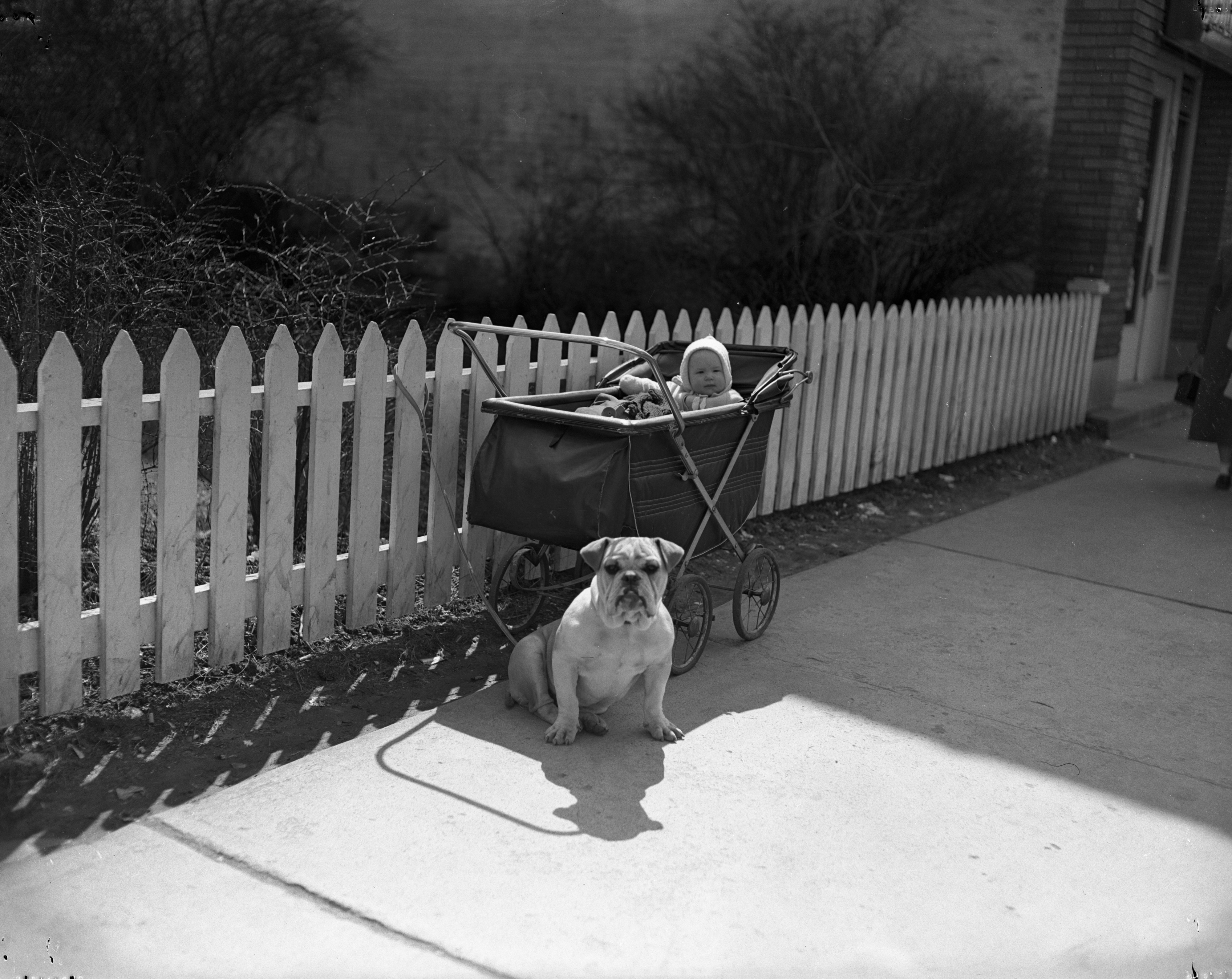 """Tubby"" stands guard over Steven Miller's baby carriage, April 1950 image"