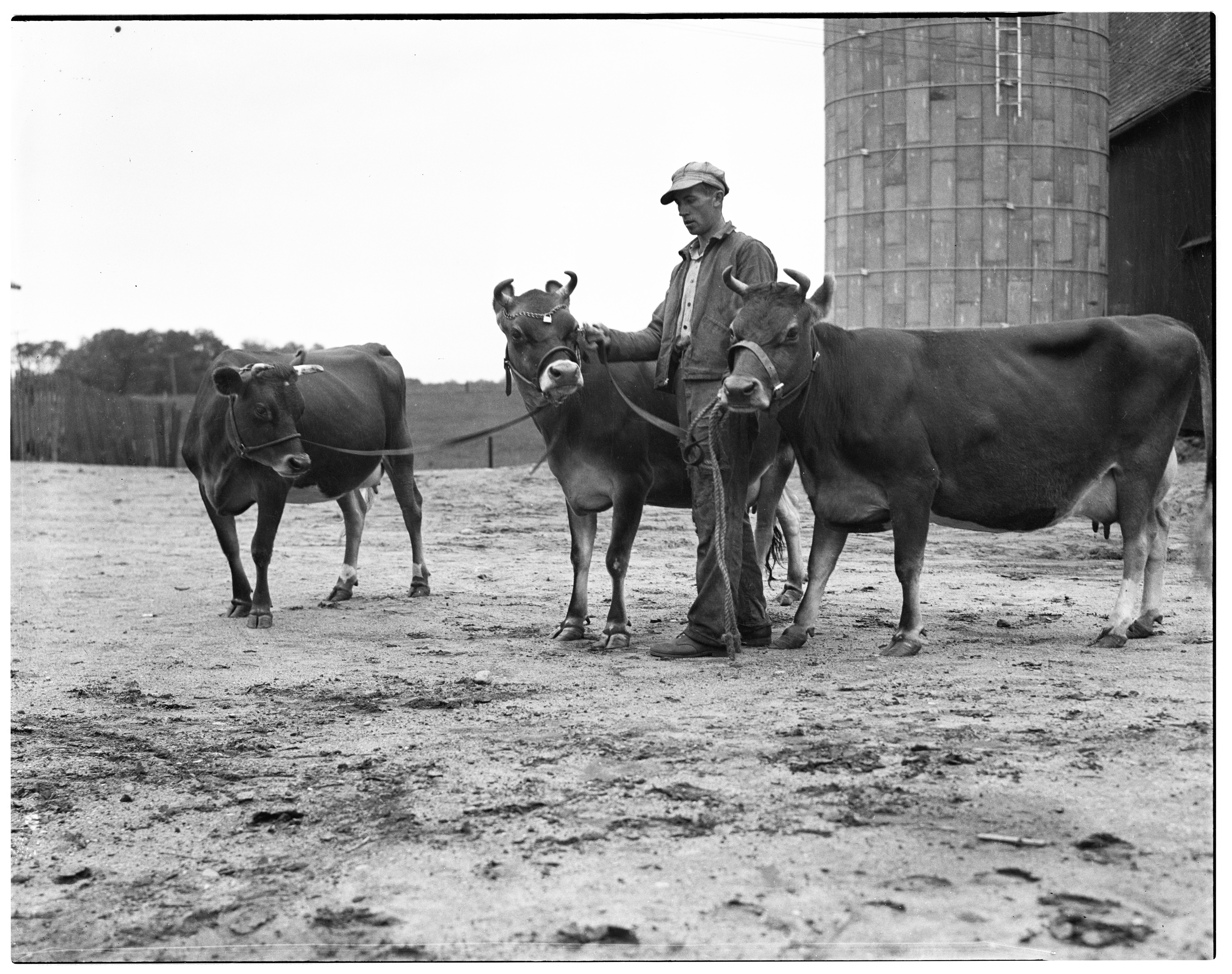 Melvin Hartman With Cows For National Dairy Show, September 1936 image
