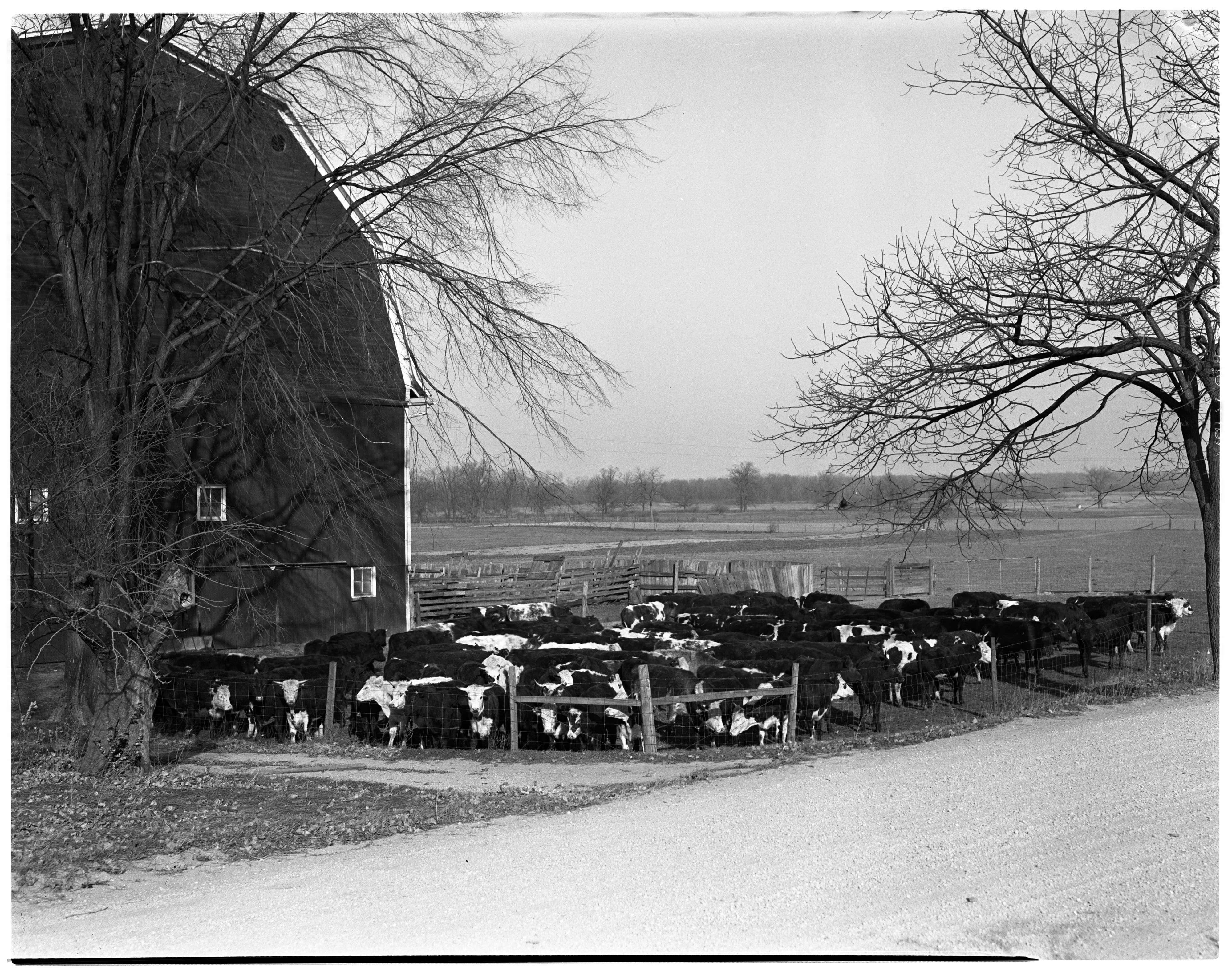 George Henning's Cattle, November 1936 image