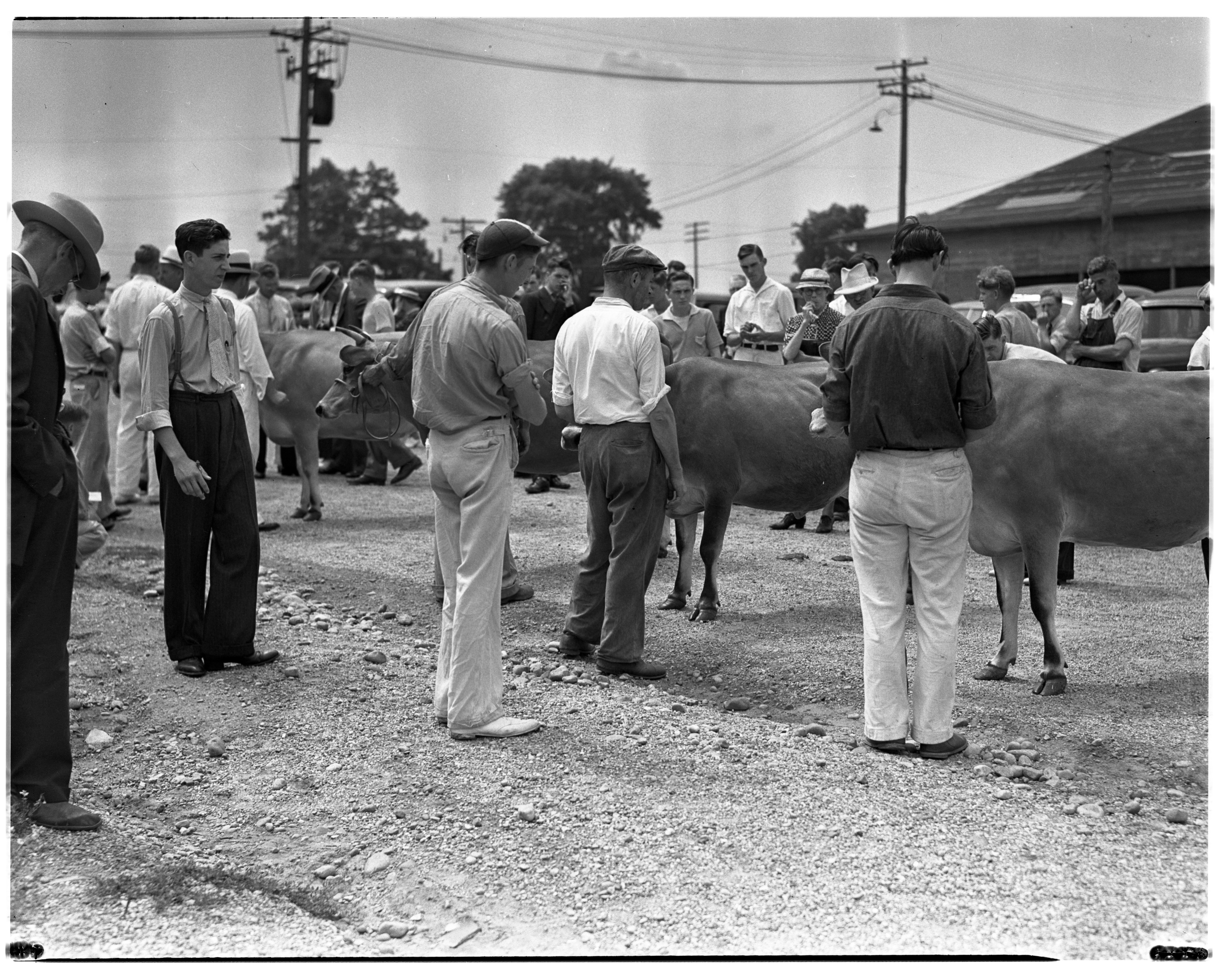 Judging Jersey Cows at the Fair Grounds image