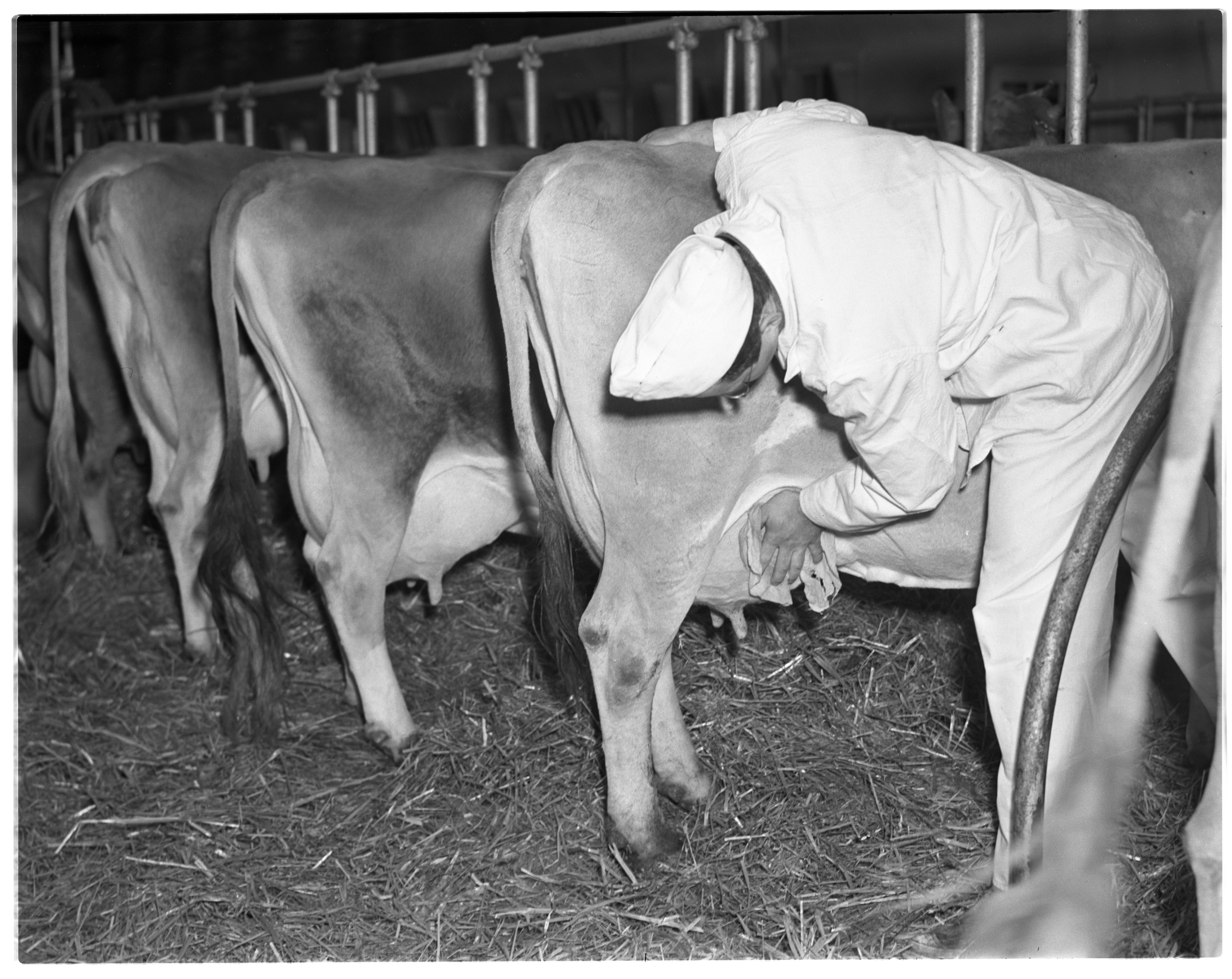 Man Milking a Cow image