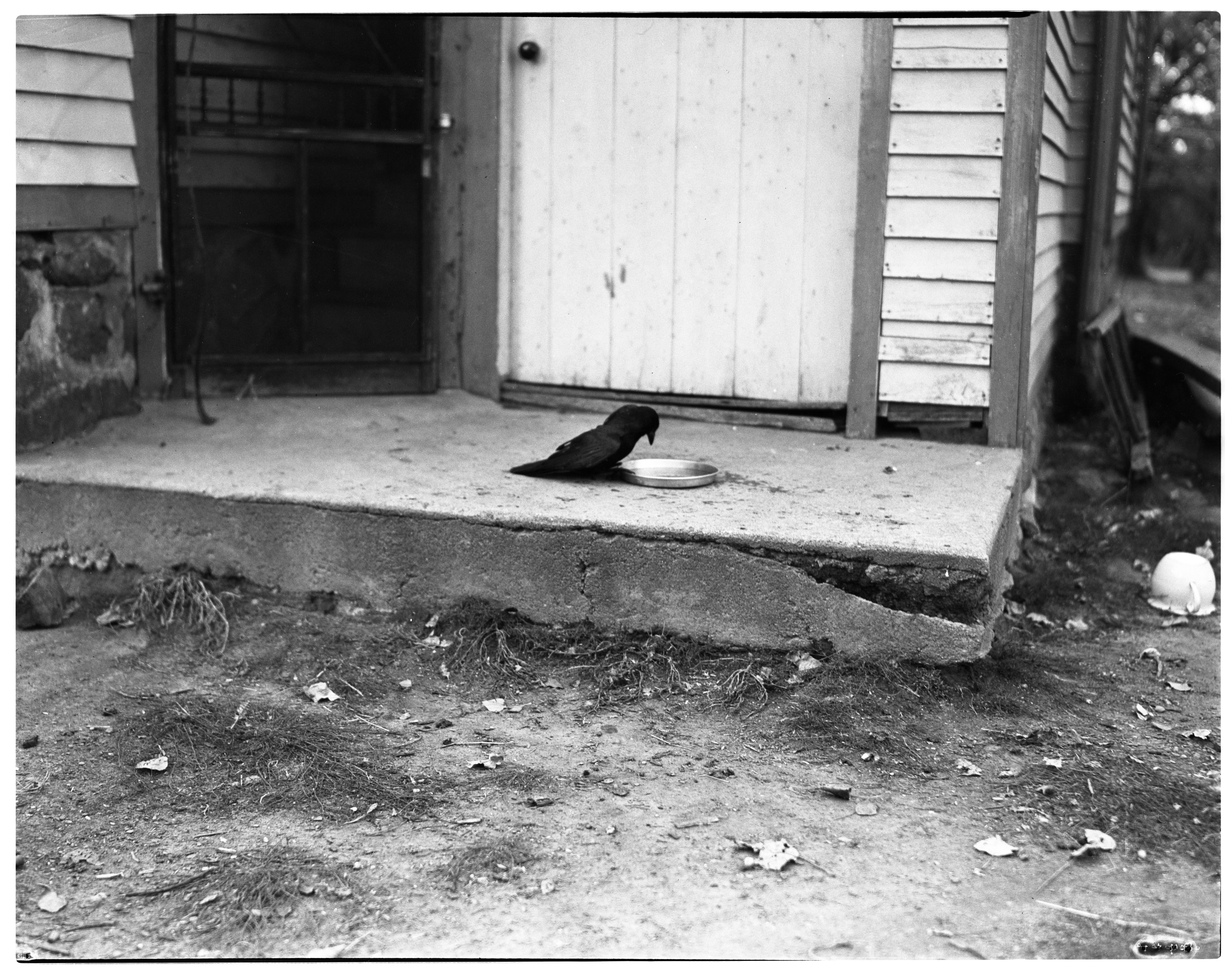 The George Grossman Family's Pet Crow in Manchester image