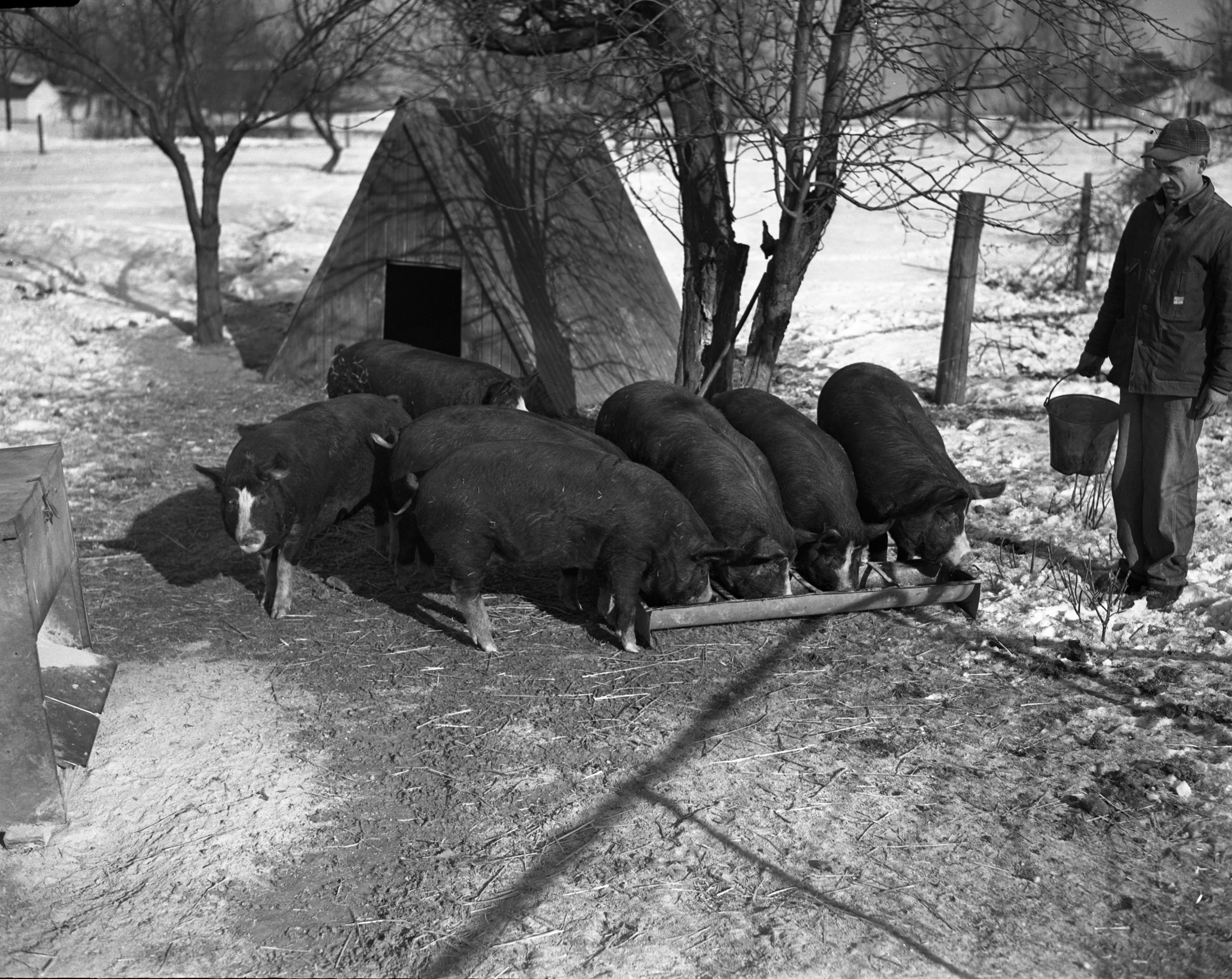 Farmer Girback and pigs for MSC Show, January 1943 image