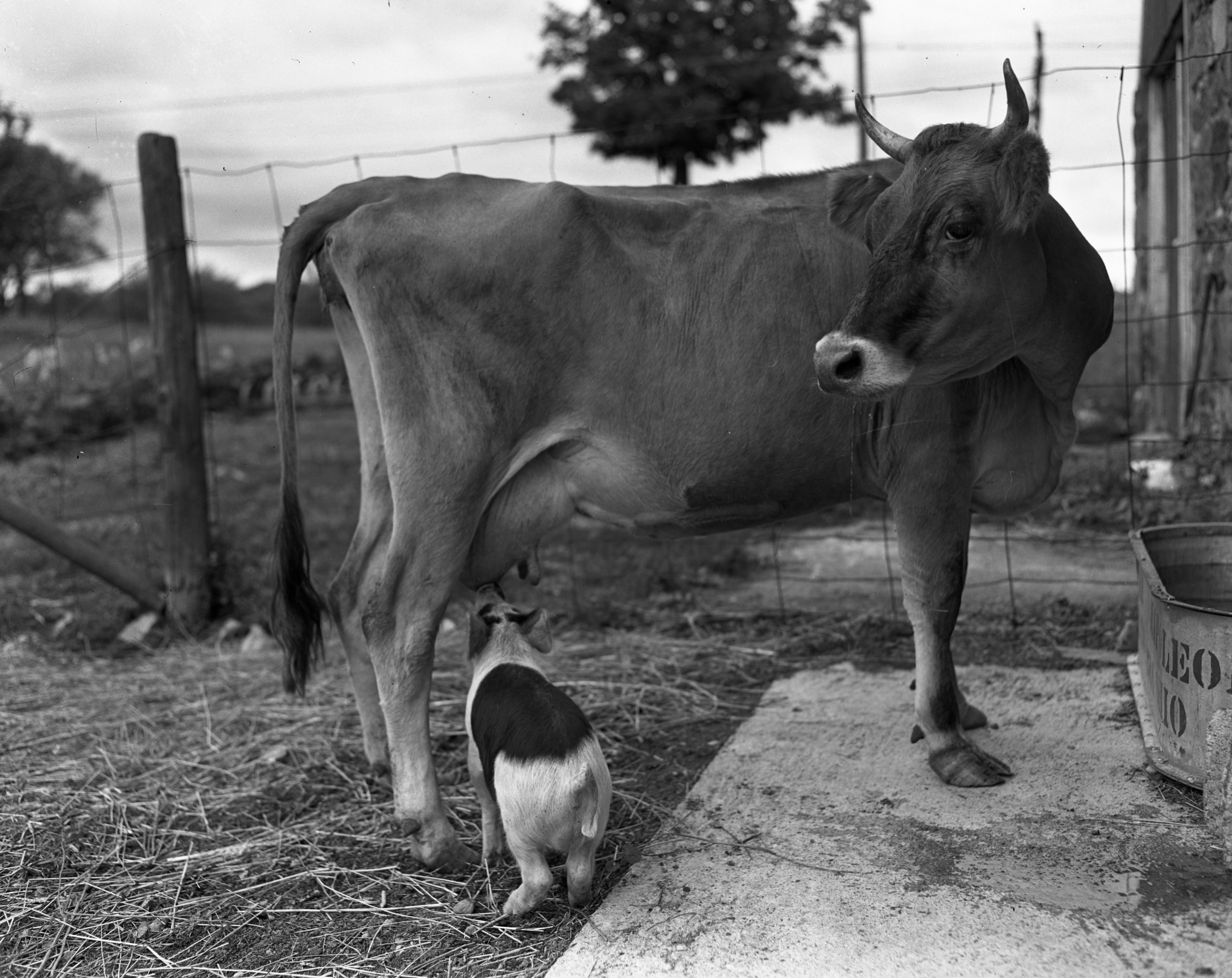 Cow suckling a pig on the Braun Farm, N. Main St., August 1946 image